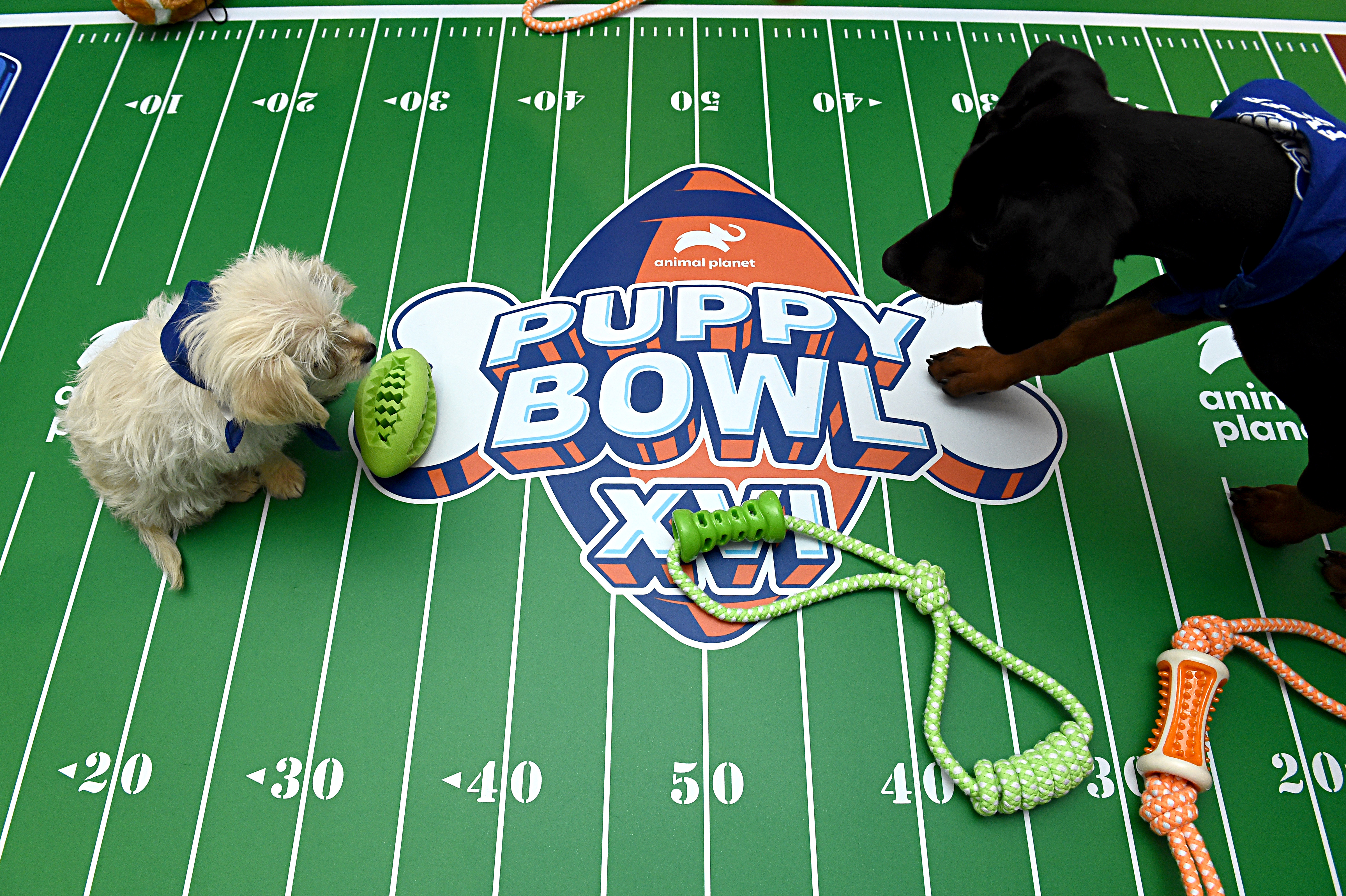The Animal Planet Puppy Bowl break during the Discovery, Inc. TCA Winter Panel 2020 at The Langham Huntington, Pasadena on January 16, 2020 in Pasadena, California.