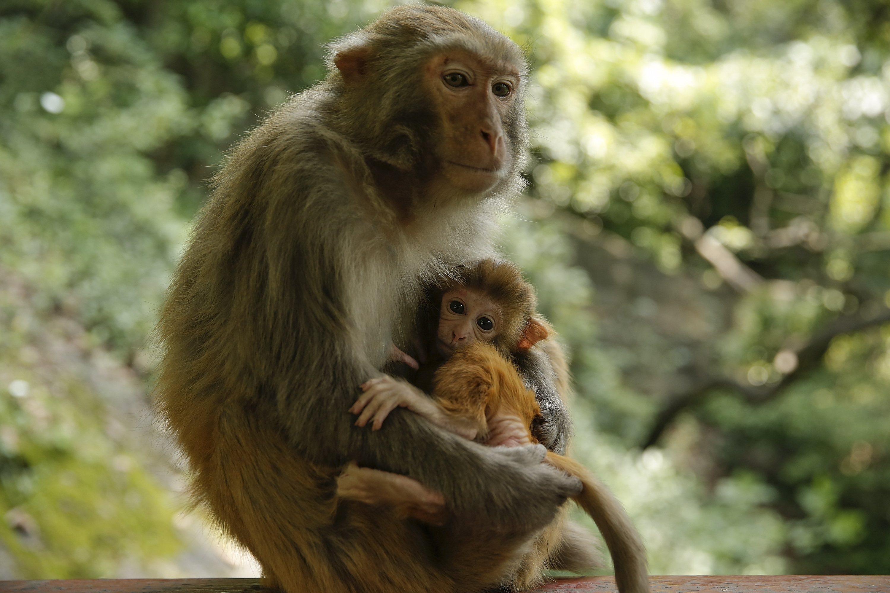 A macaque mother with her baby in Guiyang, China.