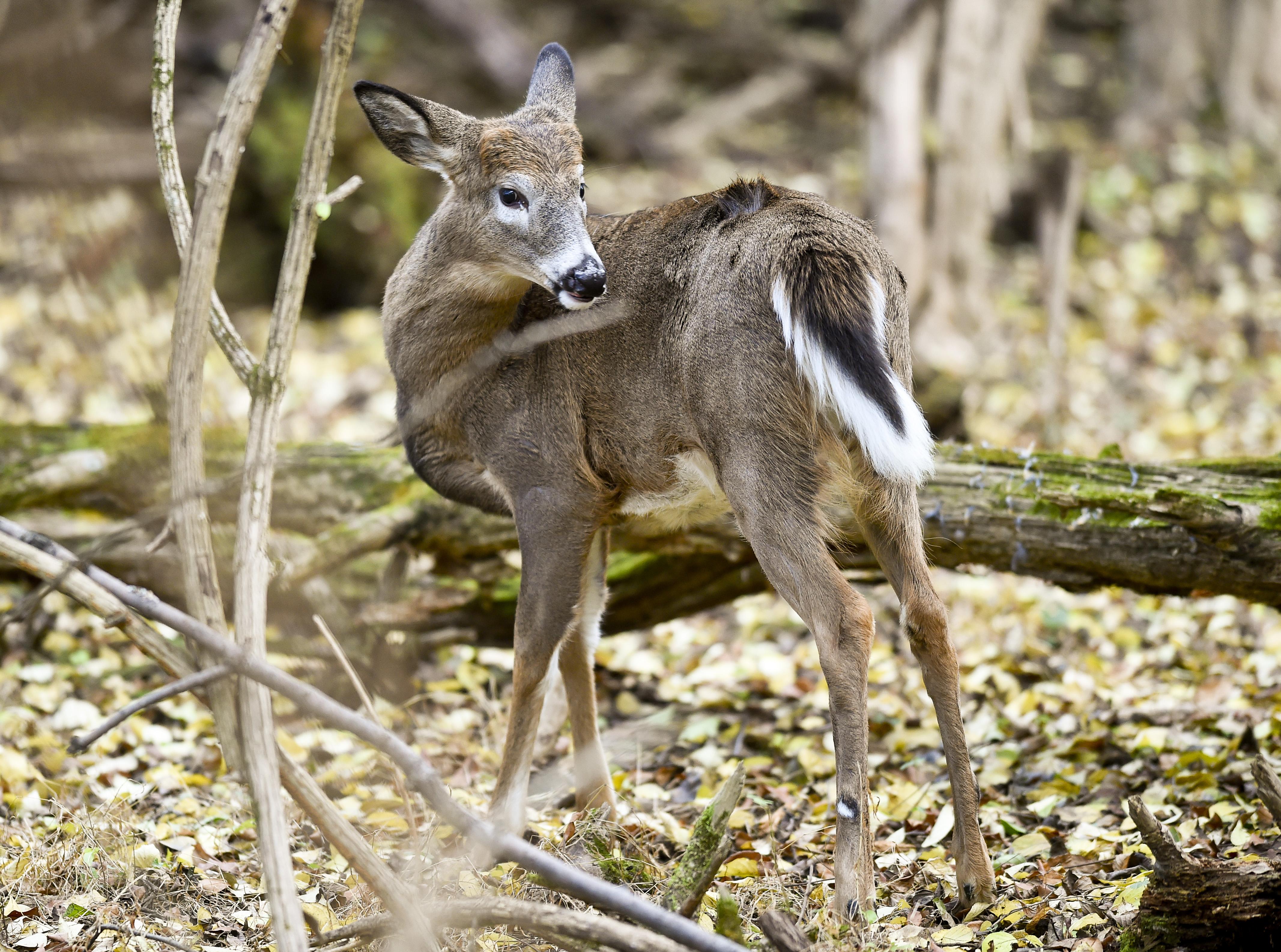 """Whitetail Deer In Woods In Pennsylvania""""n"""