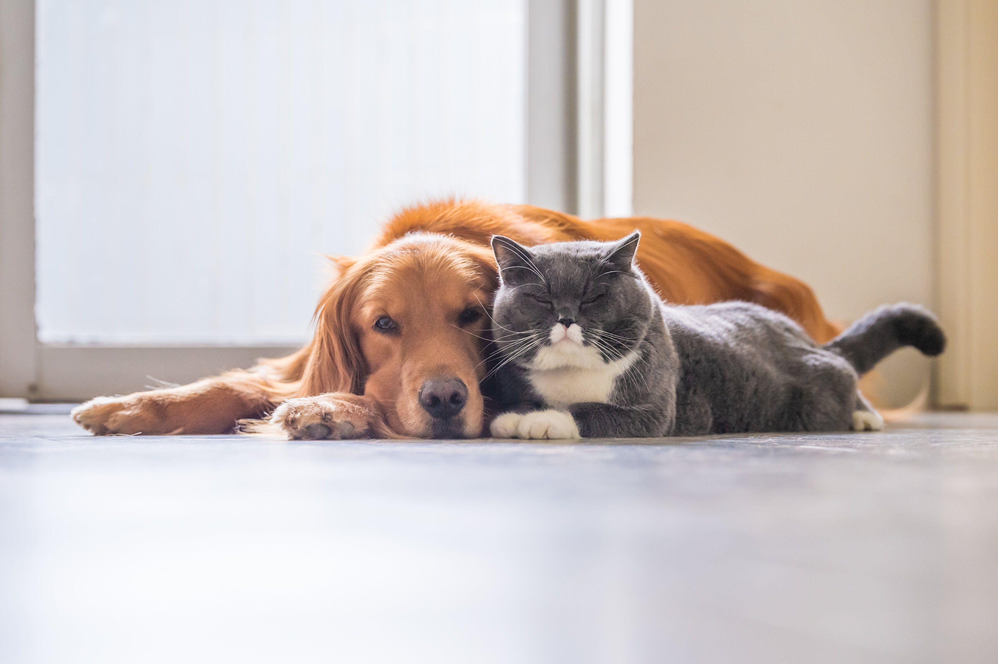 A golden retriever and grey cat with white markings lay on a wood floor together.