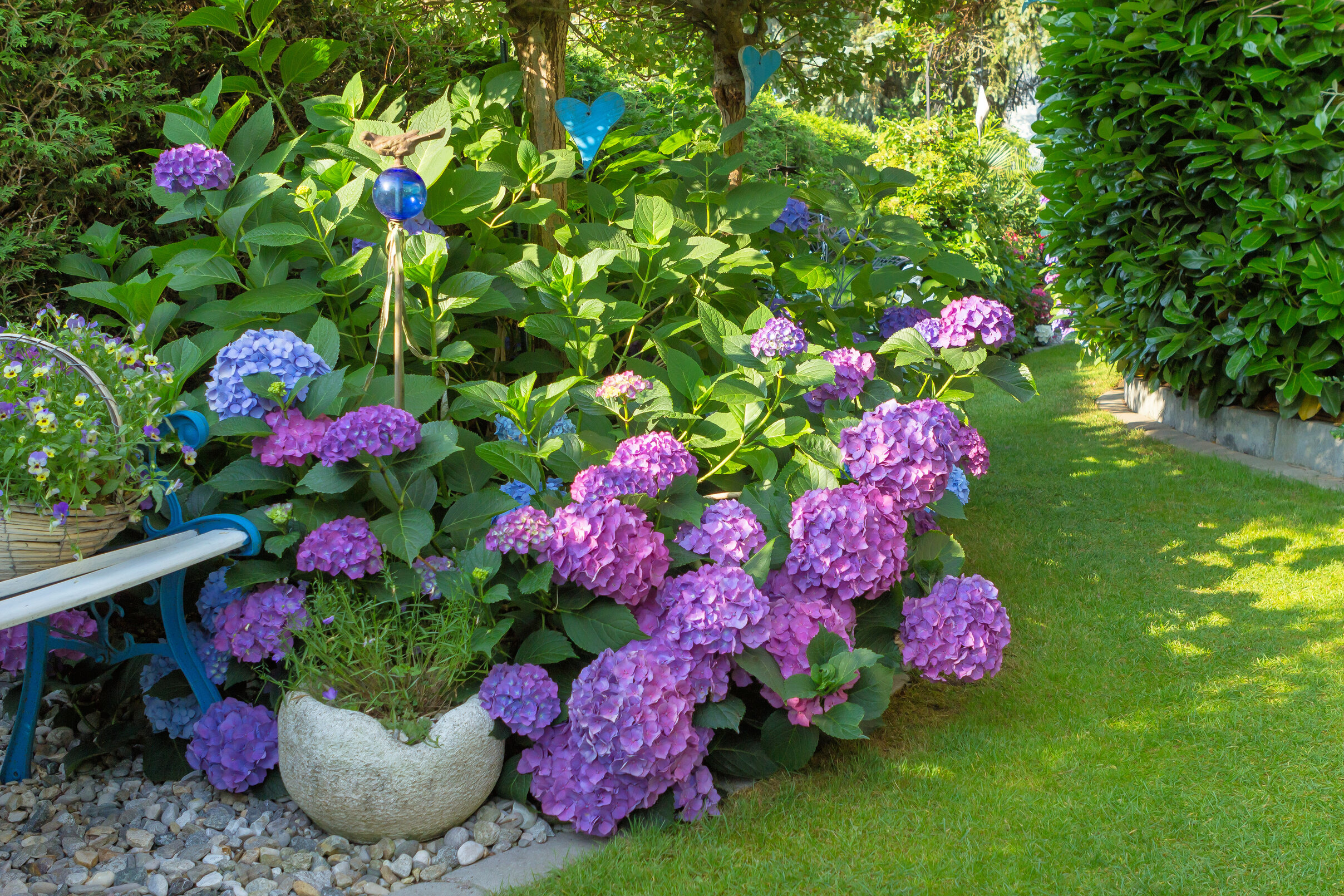 A pink and purple hydrangea plant in a garden next to a bench and green shrubs.