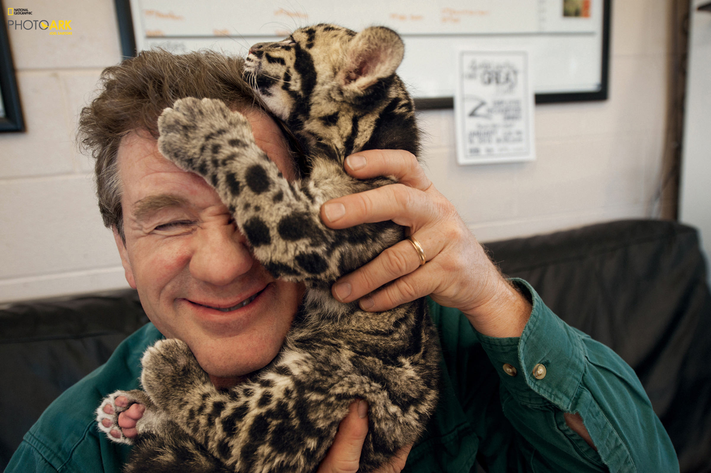 """A clouded leopard cub climbs on wildlife photographer Joel Sartore's head after a photo shoot at the Columbus Zoo in Ohio. The leopards, which live in Asian tropical forests, are illegally hunted for their spotted pelts. Sartore hopes to capture a single portrait of every species that's currently """"in human care"""" around the world for his Photo Ark project. Sartore recently visited the Utah's Hogle Zoo for a photo shoot."""