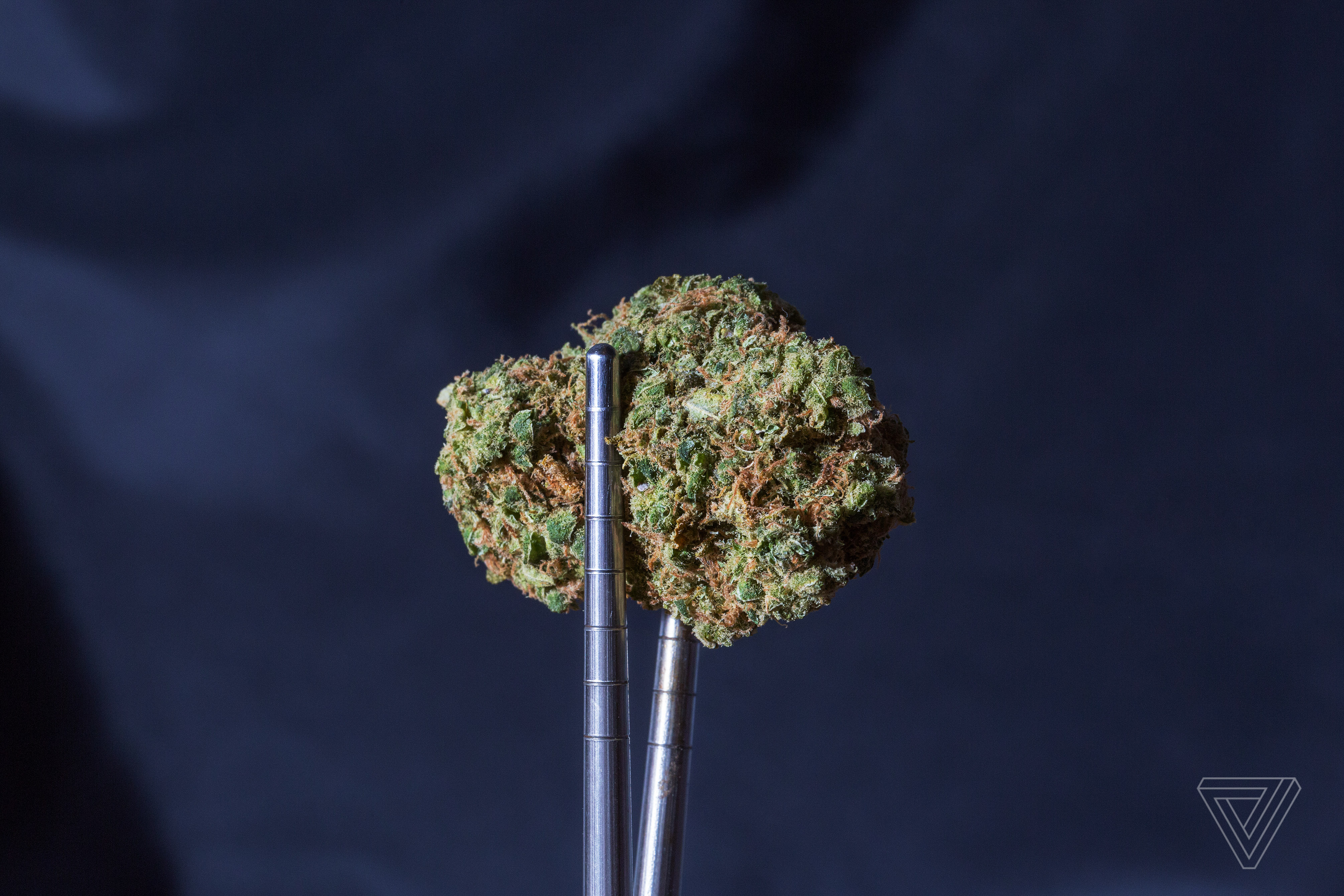 A chunk of weed held up by tweezers.