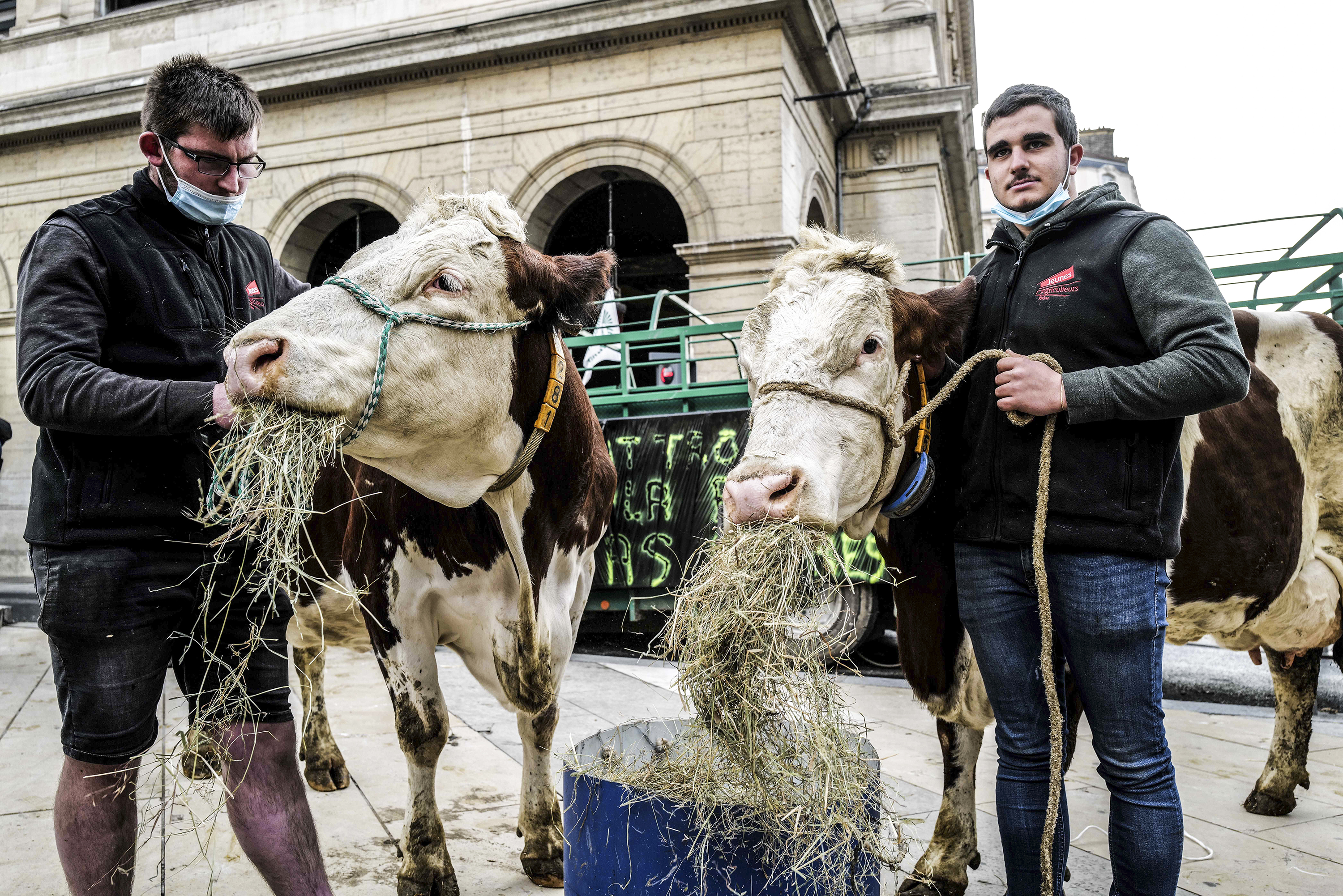 Two farmers hold the halter ropes on two cows eating hay on a city street.