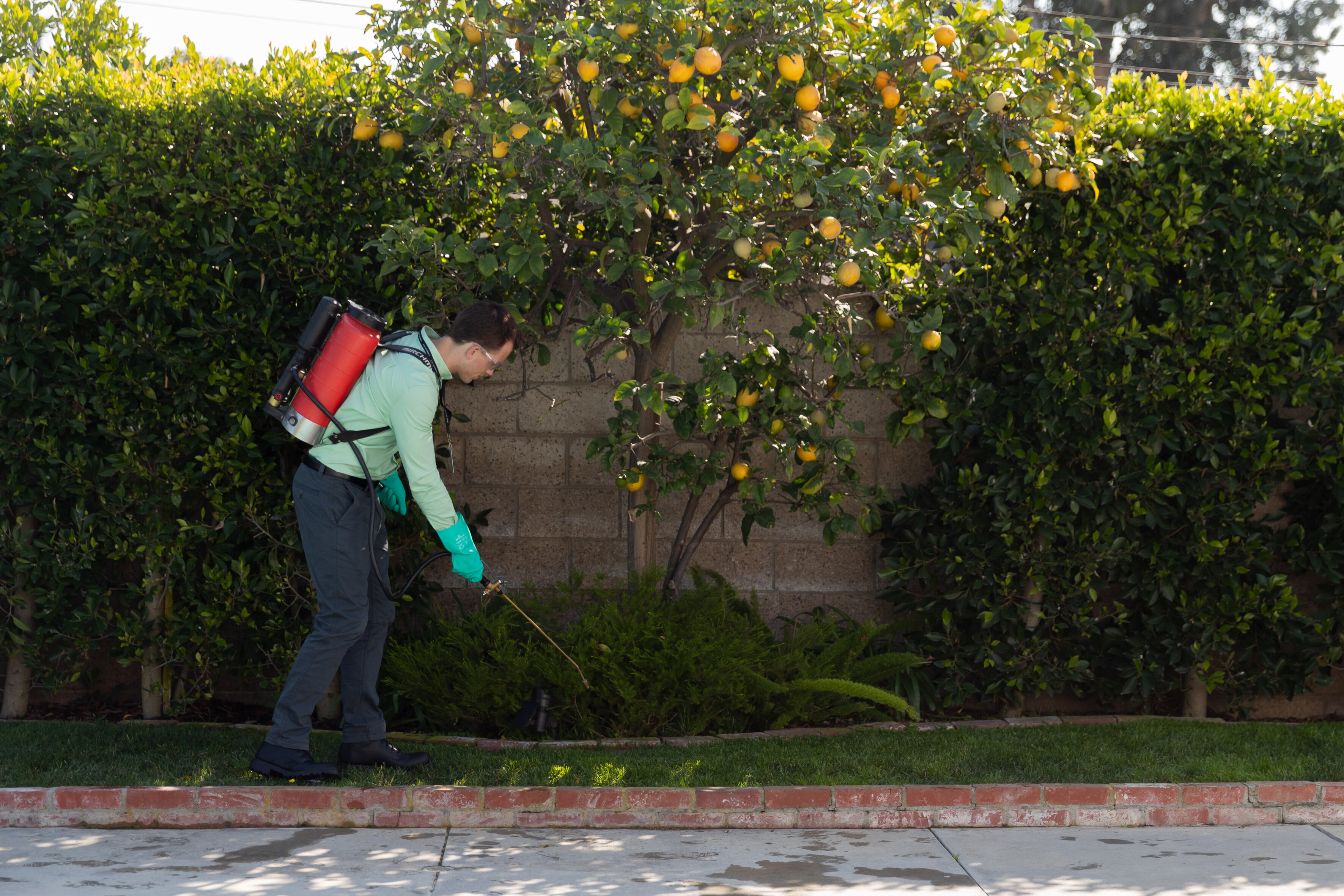 A pest control specialist wearing a green shirt, black pants, and green gloves sprays pest control solution on a green yard near an orange citrus tree.