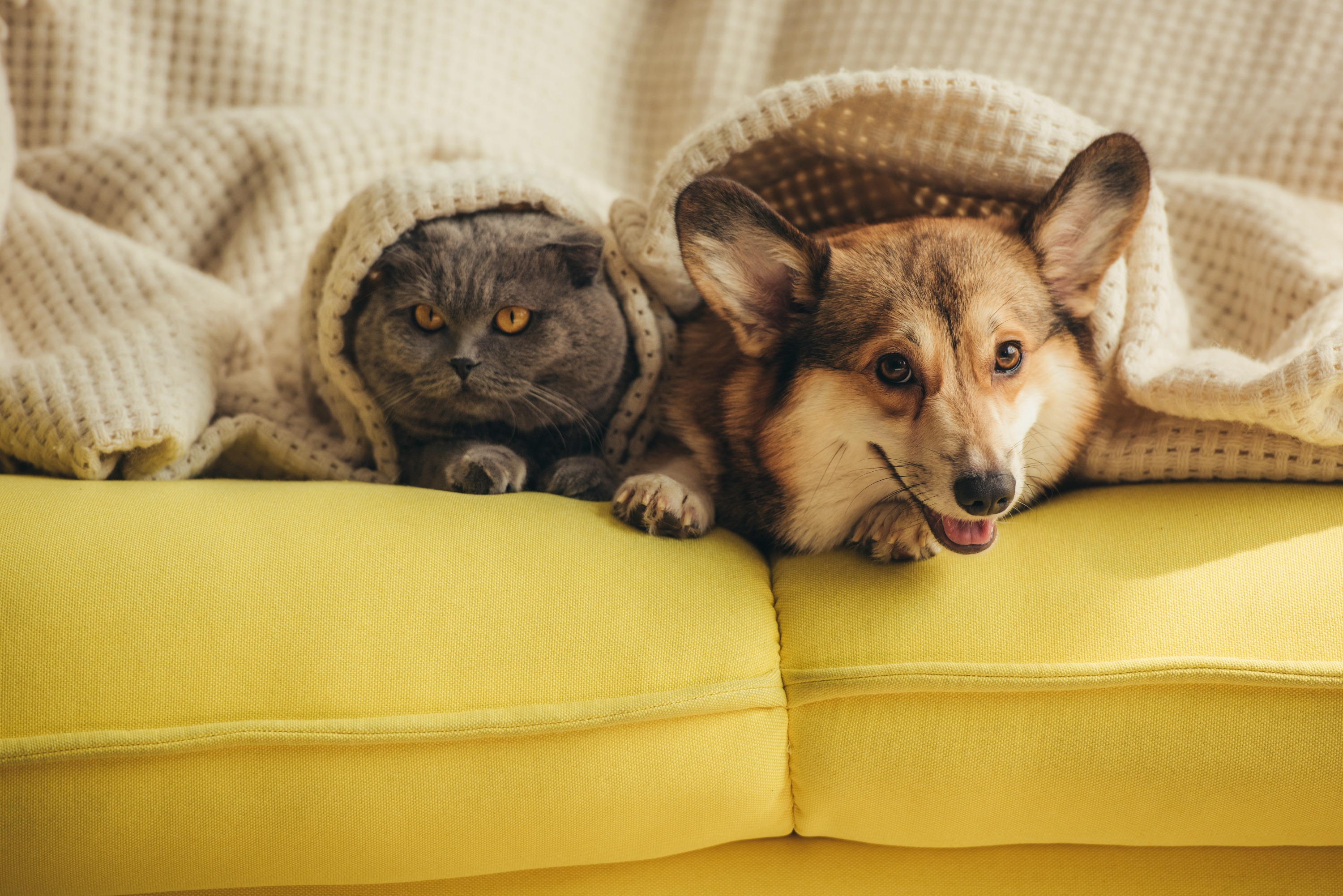 A grey cat and a light brown corgi under a cream colored blanket on a yellow couch.