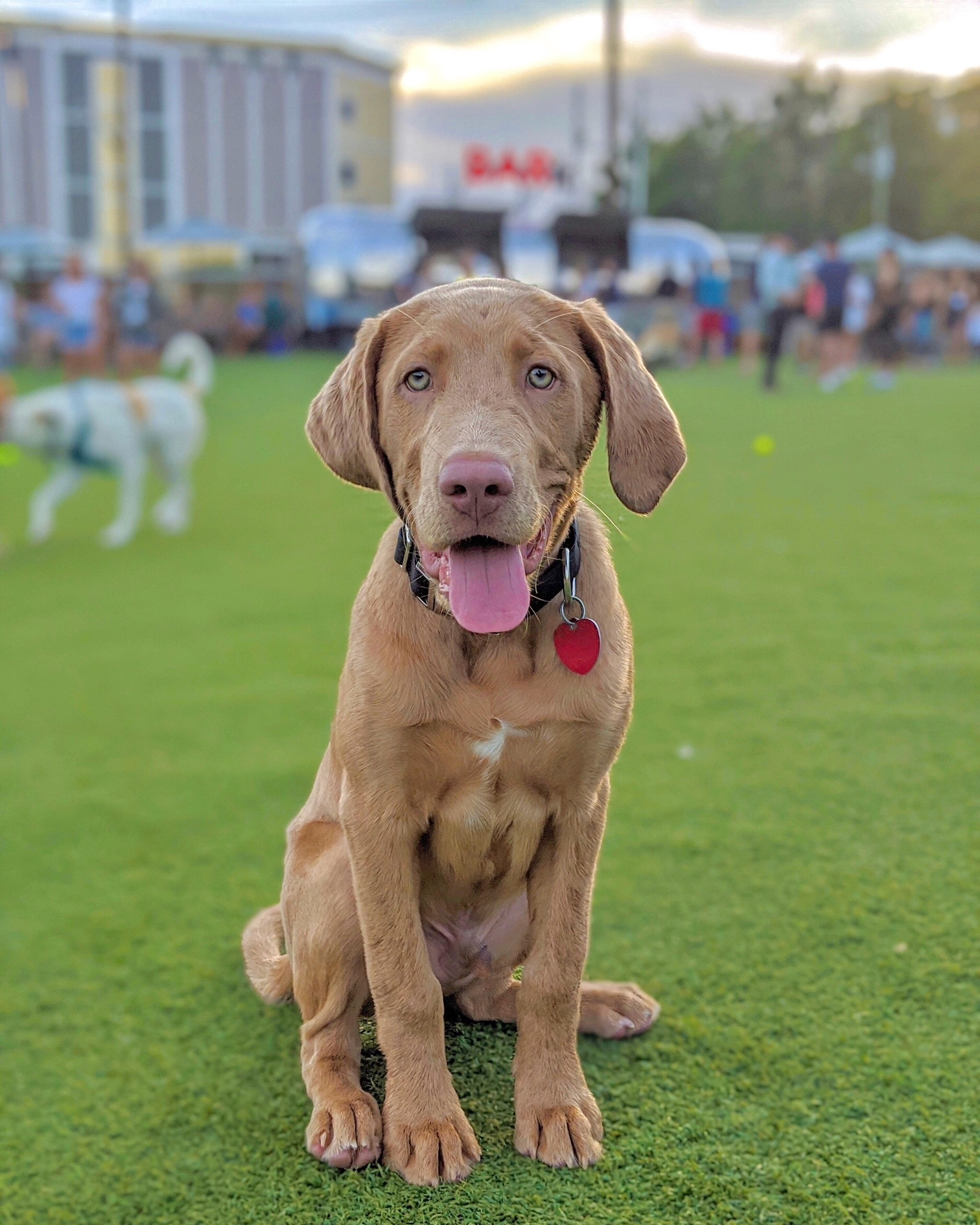 A young hound dog with light brown fur and blue eyes sits on a green grassy lawn at Fetch dog park. He stares into the camera smiling with his big pink tongue sticking out and a red id tag hanging off the collar