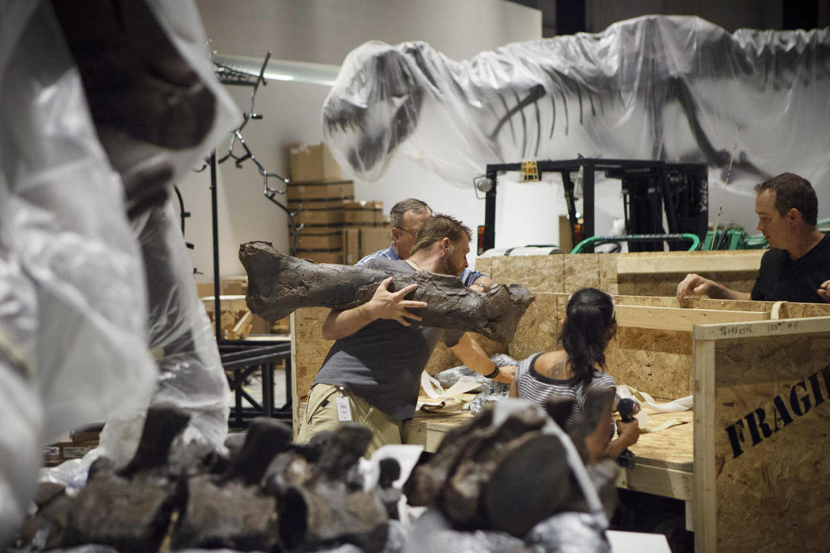 In a May 15, 2012 photo paleontologists from the Black Hills Institute of Geologic Research with the help of film industry prop artists install a T-Rex fossil skeleton in the new Hall of Paleontology at the Houston Museum of Natural Science Tuesday. The $