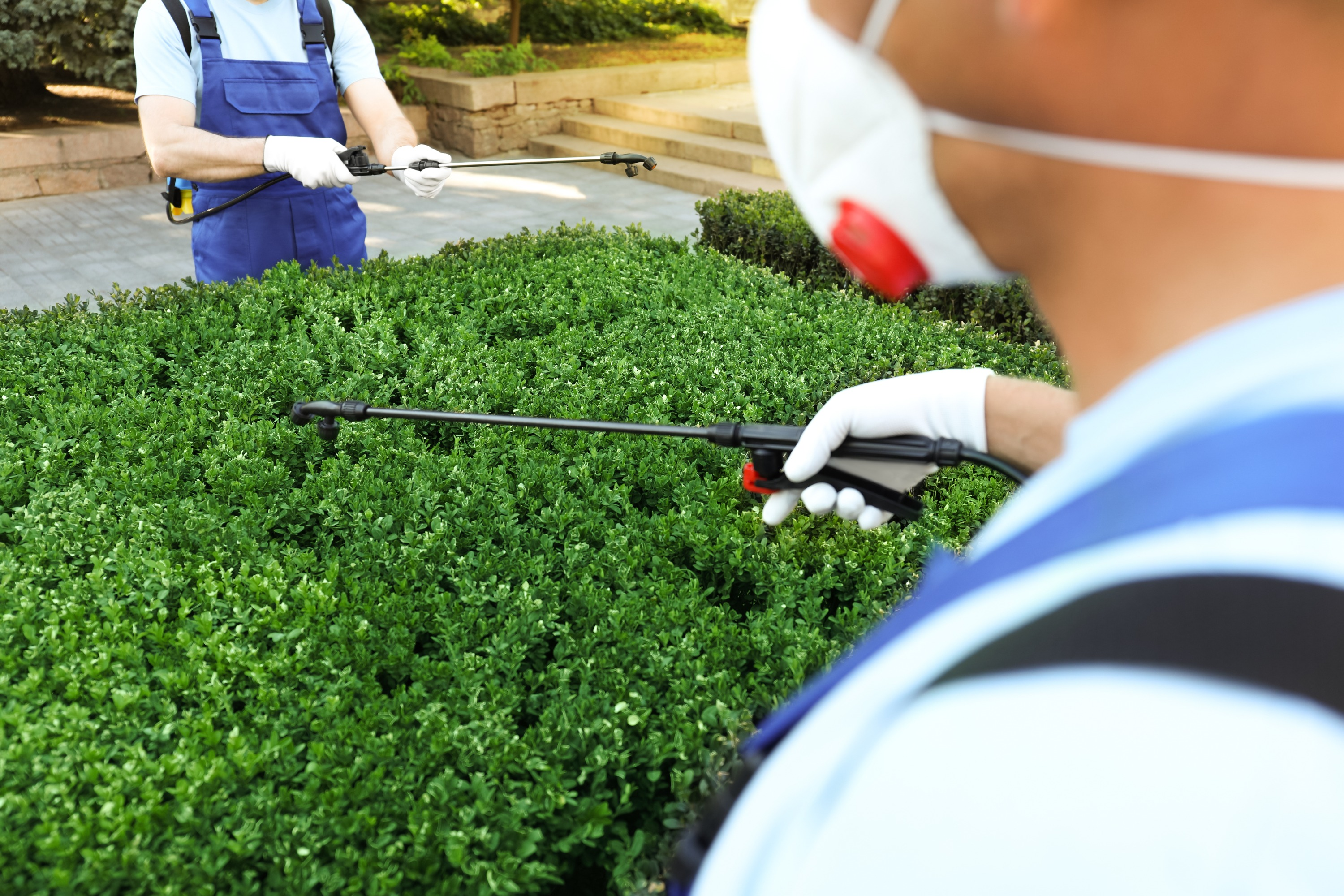A pest control specialist wearing a white mask and blue shirt uses a black wand to spray pest control solution on green bushes while another pest control specialist works in the distance.