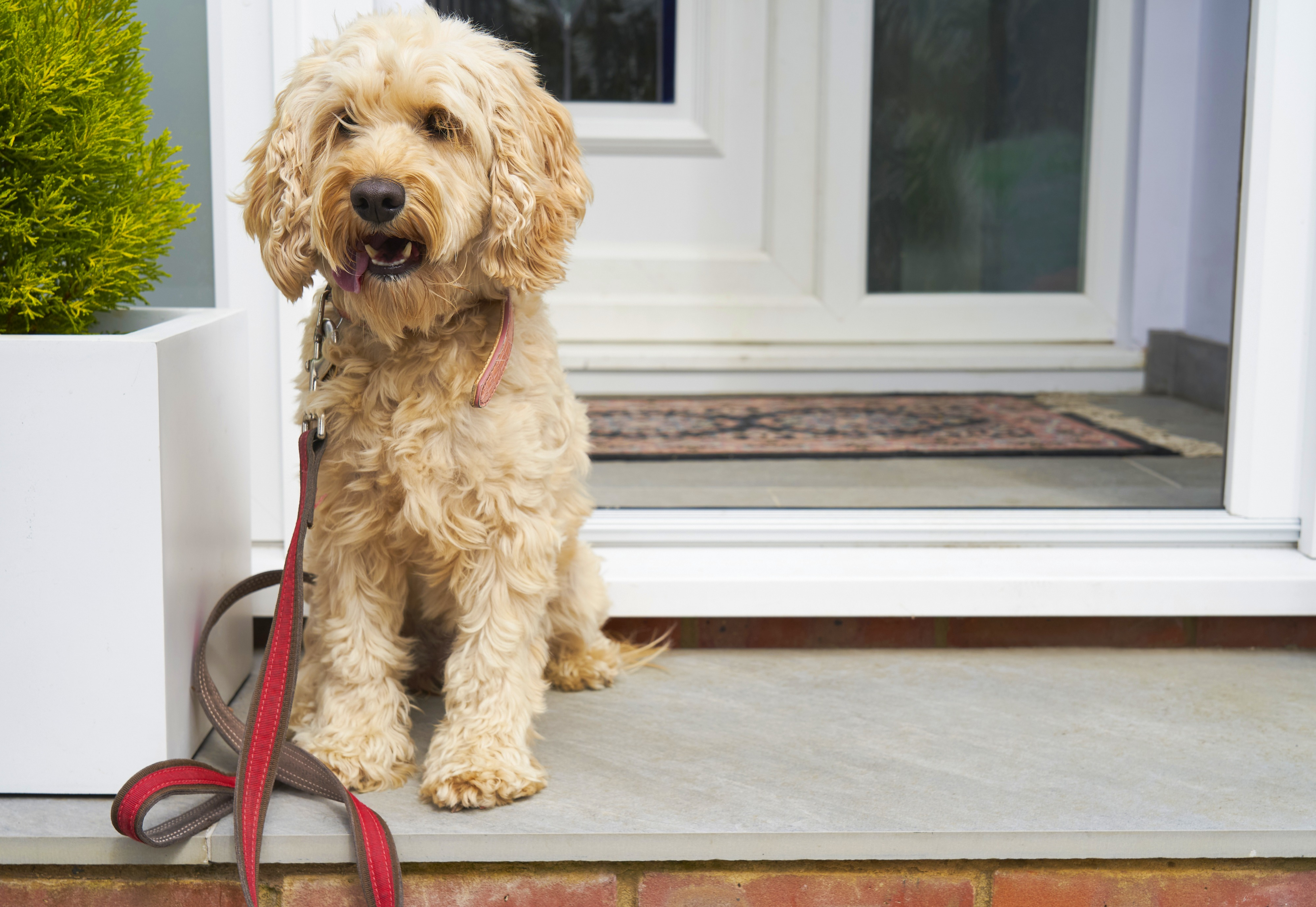 A light brown cockapoo sits on a front porch next to a white planter box with green shrub in it and has red leash hanging from collar.