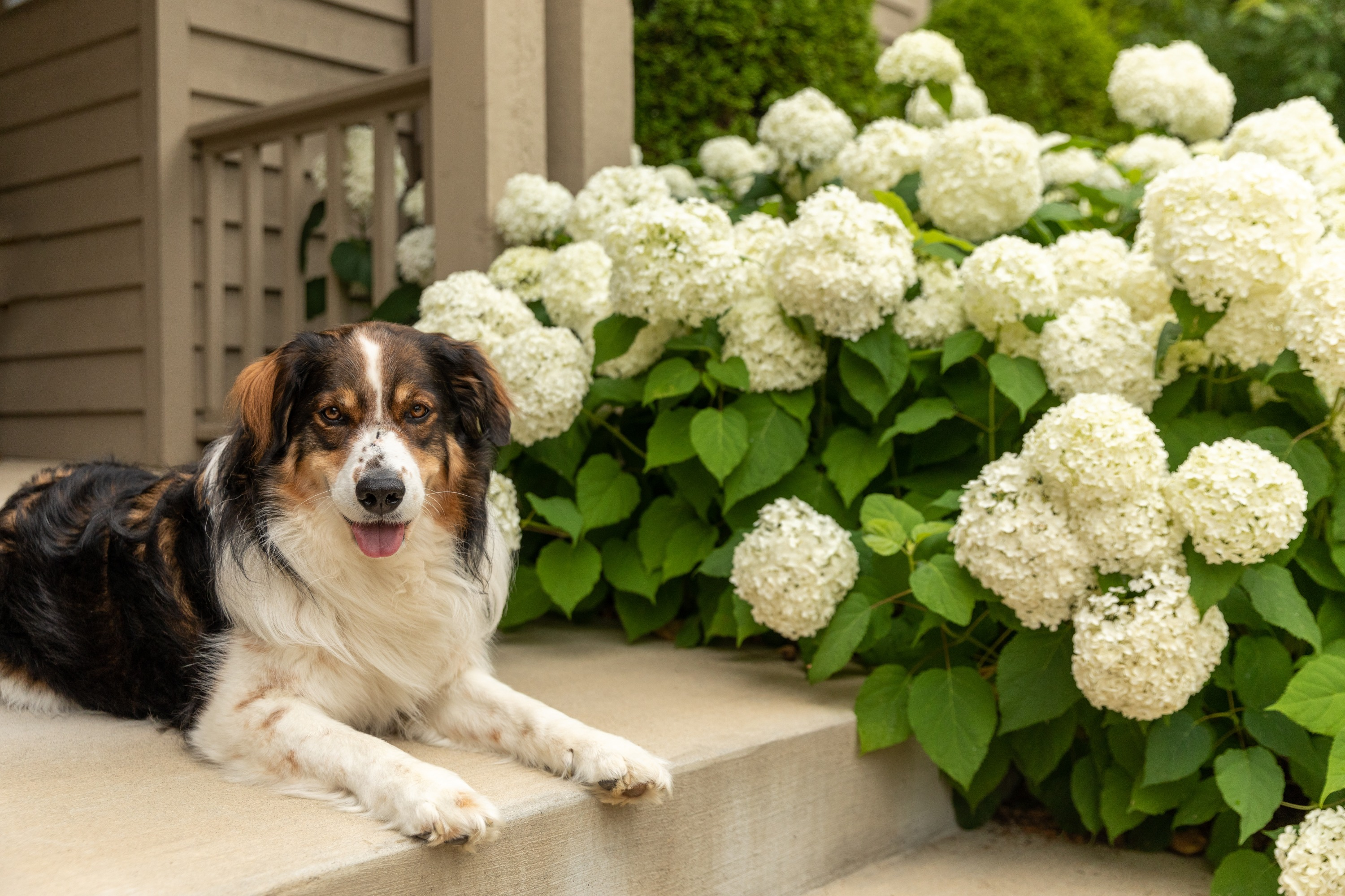 A black, brown, and white shepherd dog on a concrete porch of a brown house next to white hydrangeas.