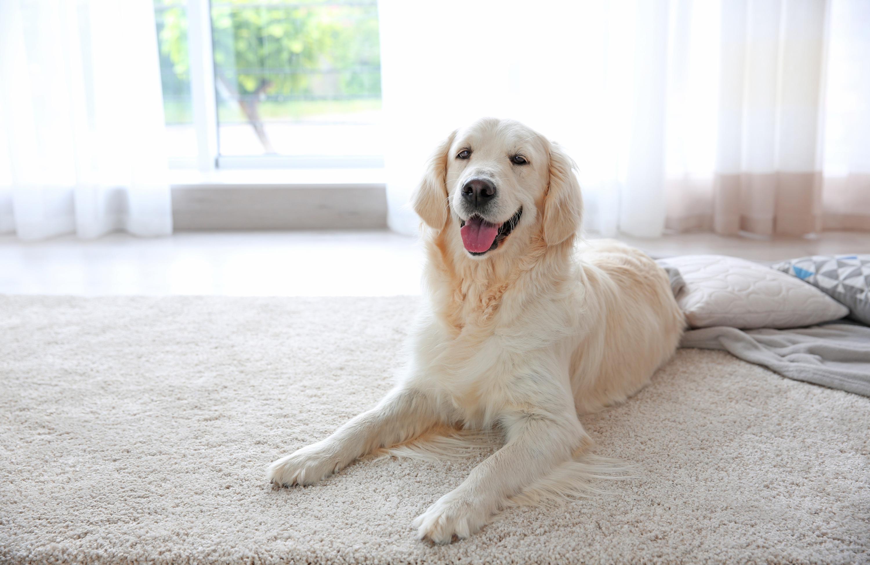 A white retriever dog on a white carpet inside a home near bright windows and white curtains.