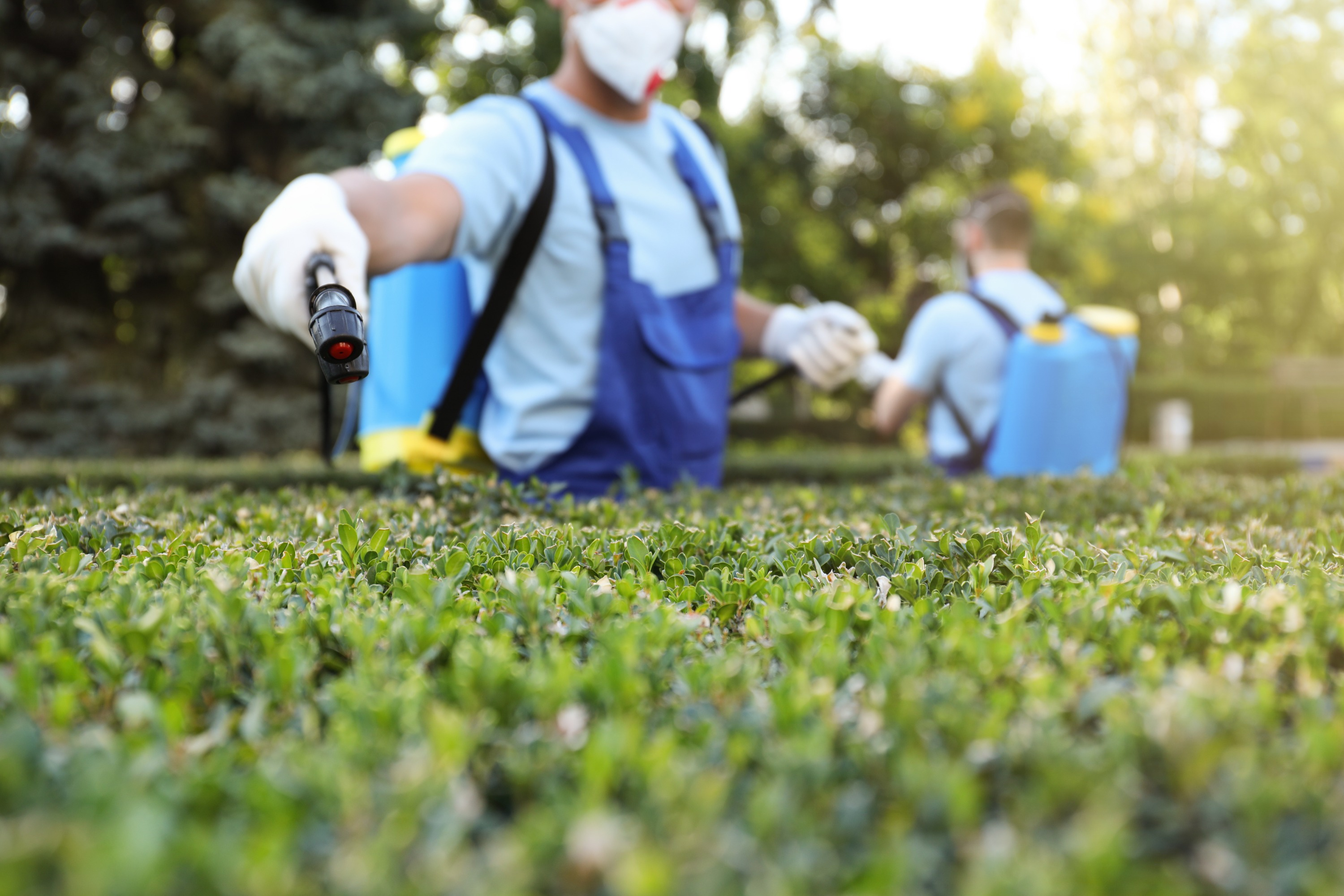 A pest control specialist wearing blue overalls and white gloves uses a black wand to spray pest control solution on green shrubs.