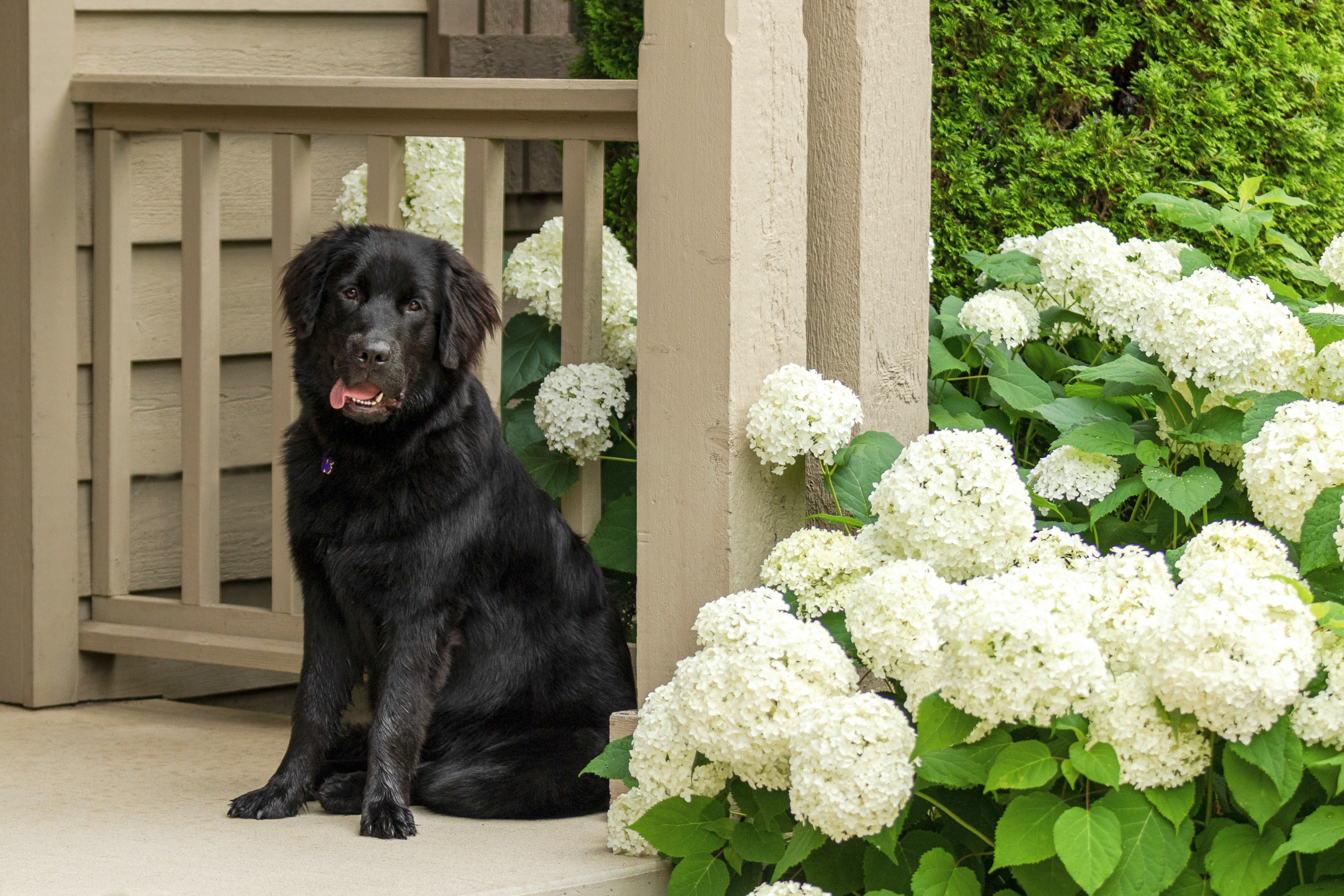 A black newfoundland puppy on a brown porch of a home next to a large white hydrangea plant.