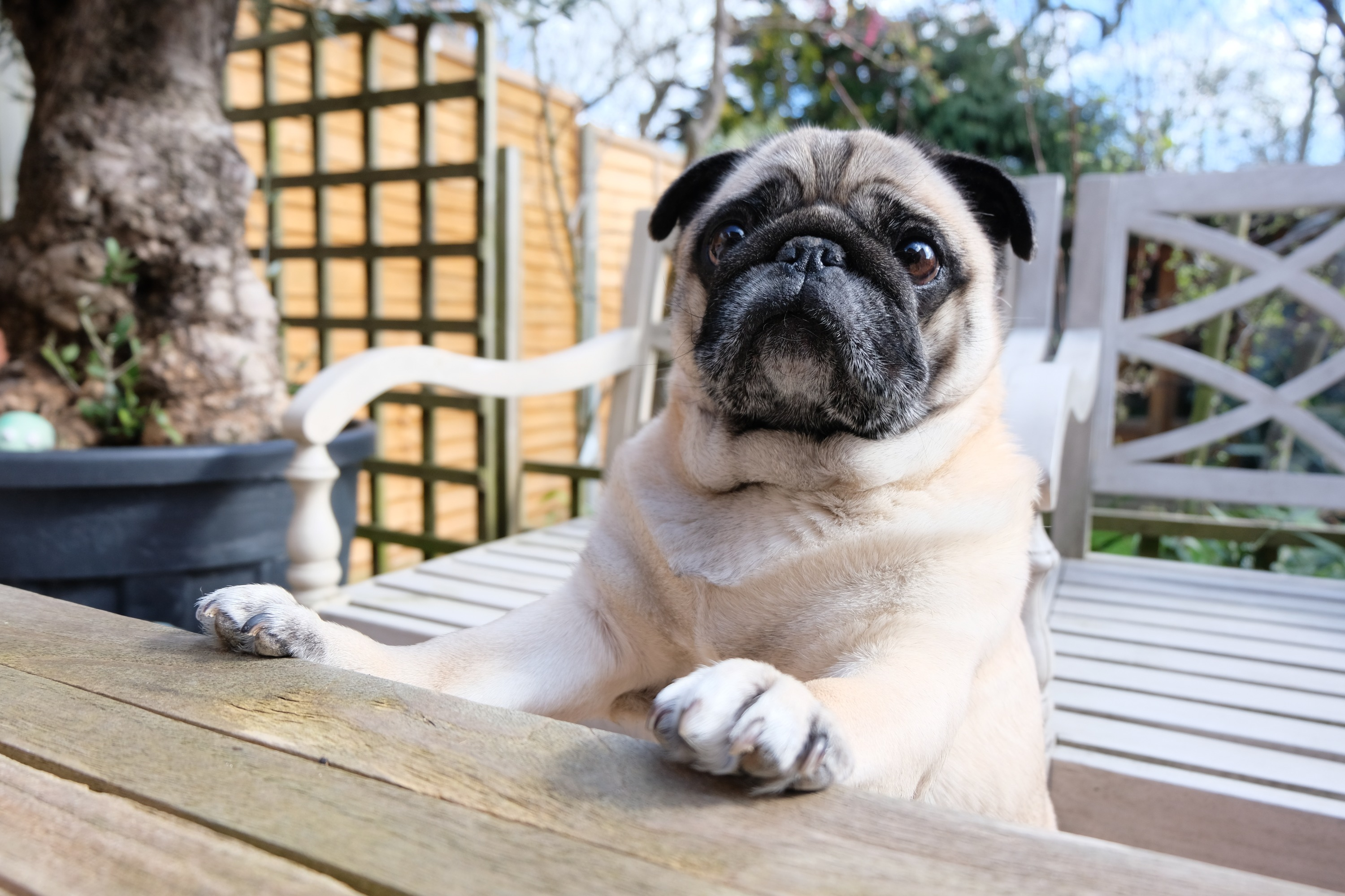 A tan pug with his paws on a wooden table on the back deck of a home.