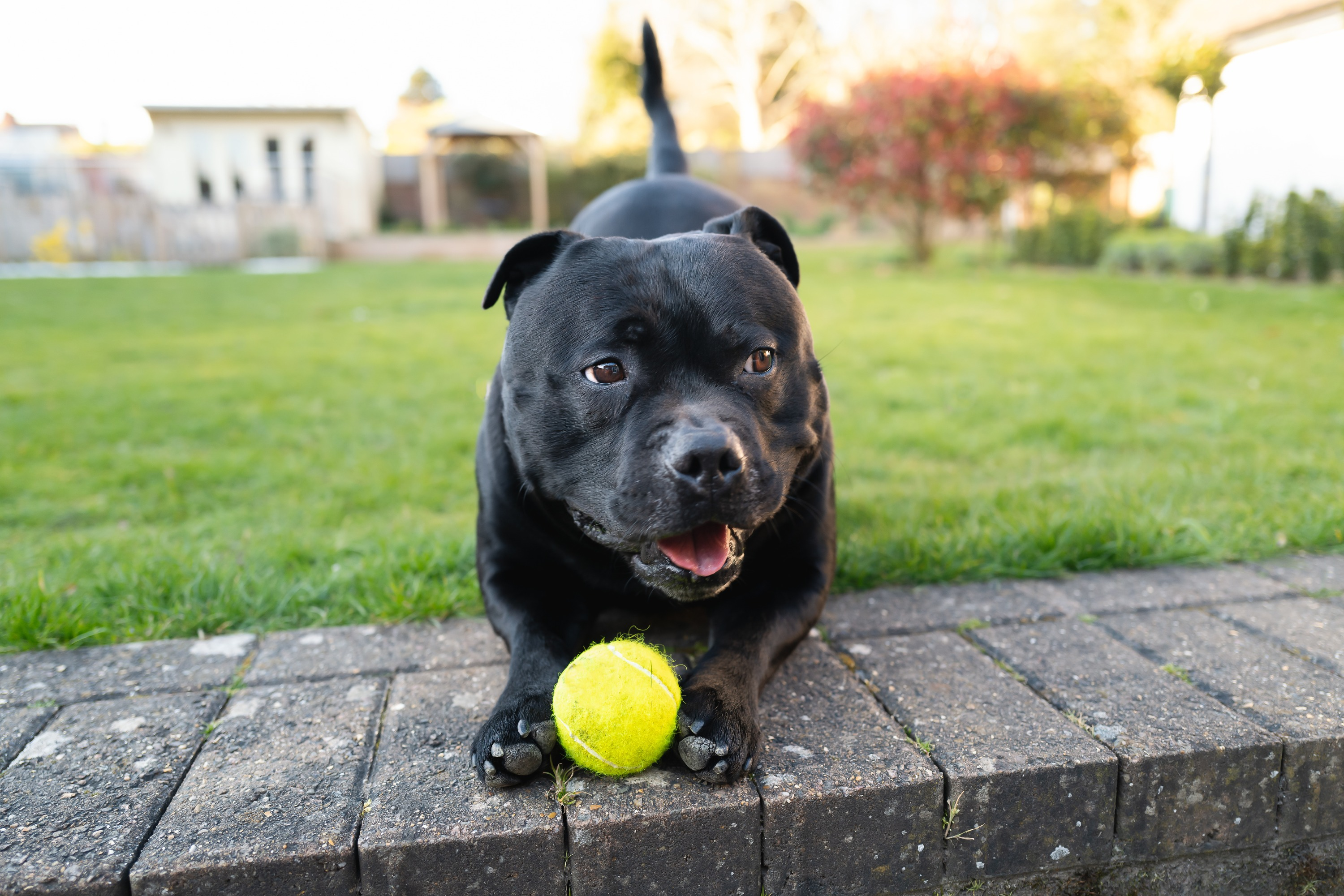 A black dog holding a yellow tennis ball between his front paws in the green backyard of a home.