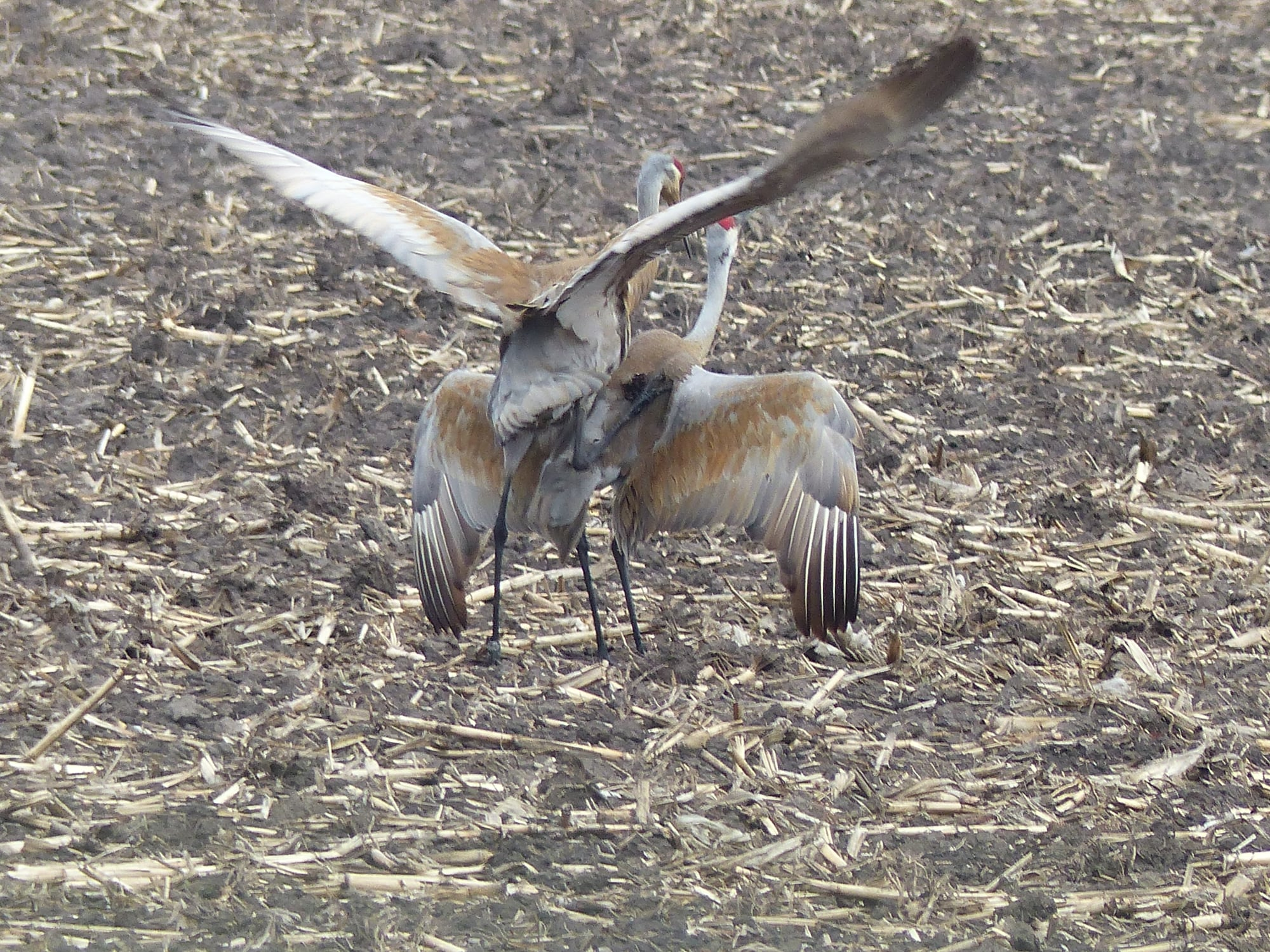 Sandhill cranes mating in Kane County. Credit: John Heneghan