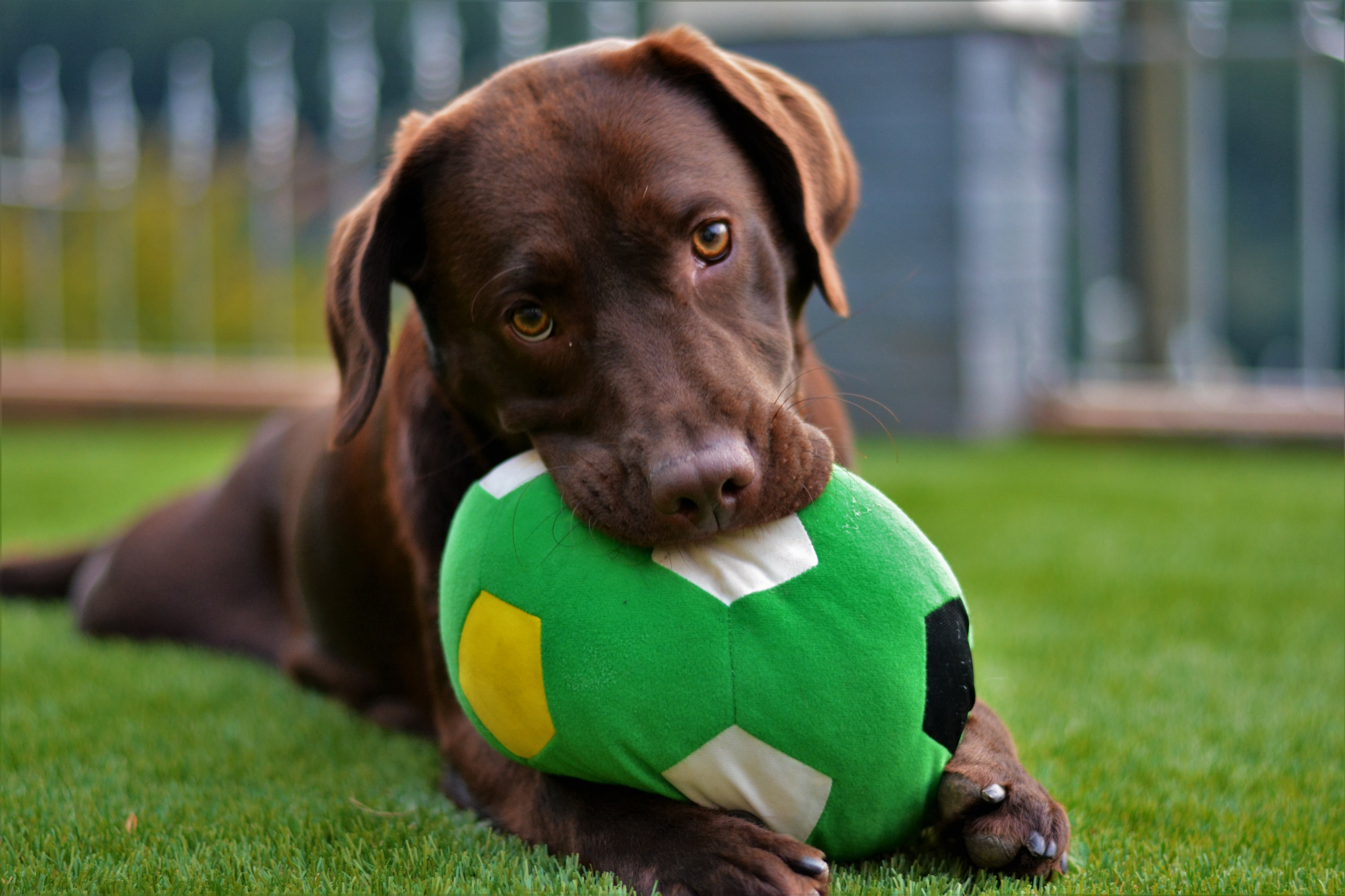 A brown Labrador Retriever lays in a backyard with green grass with a large plush green ball in his mouth.