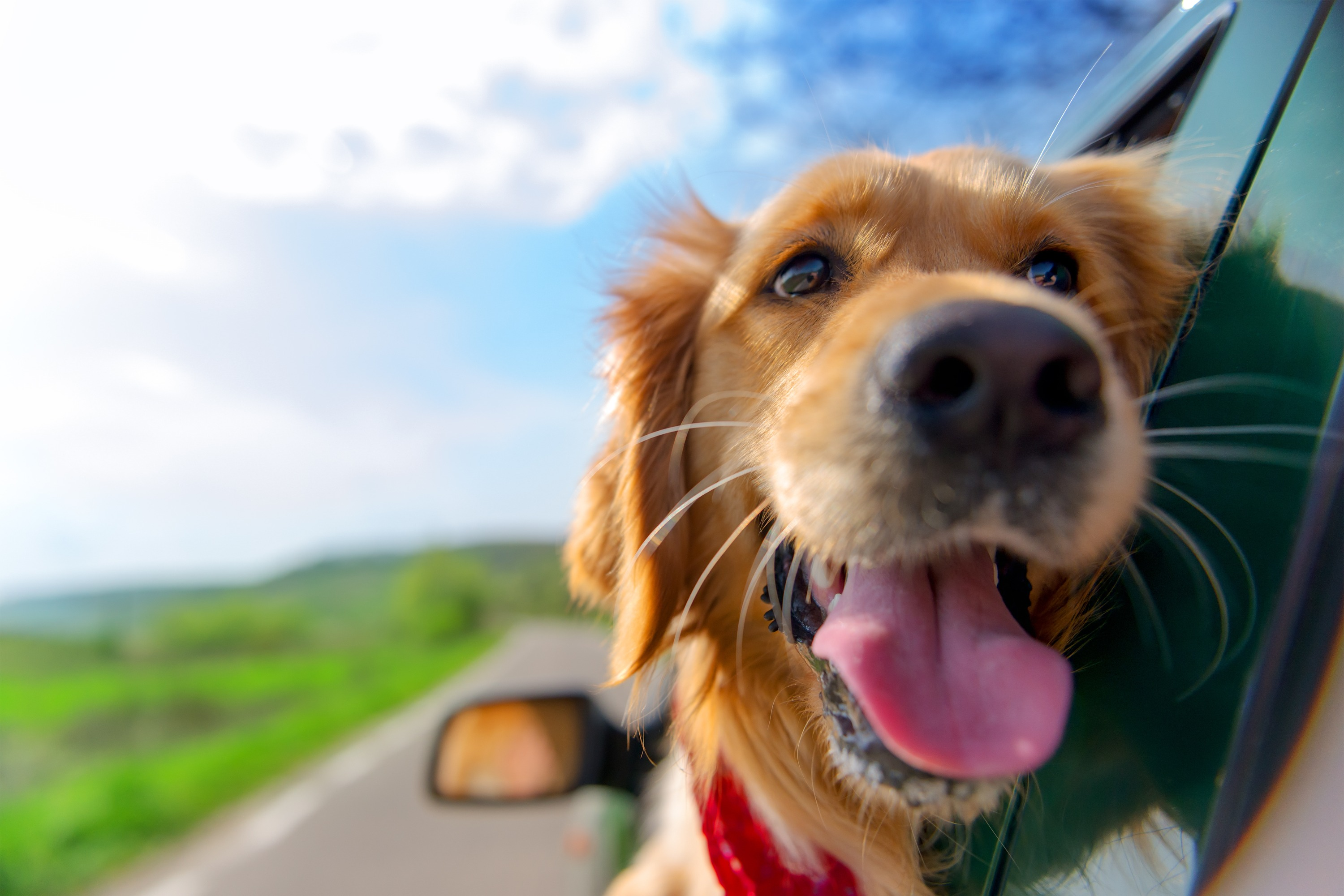 A Golden Retriever wearing a red bandana around his neck sticks his head out of the window of a dark green car with an open highway behind him.