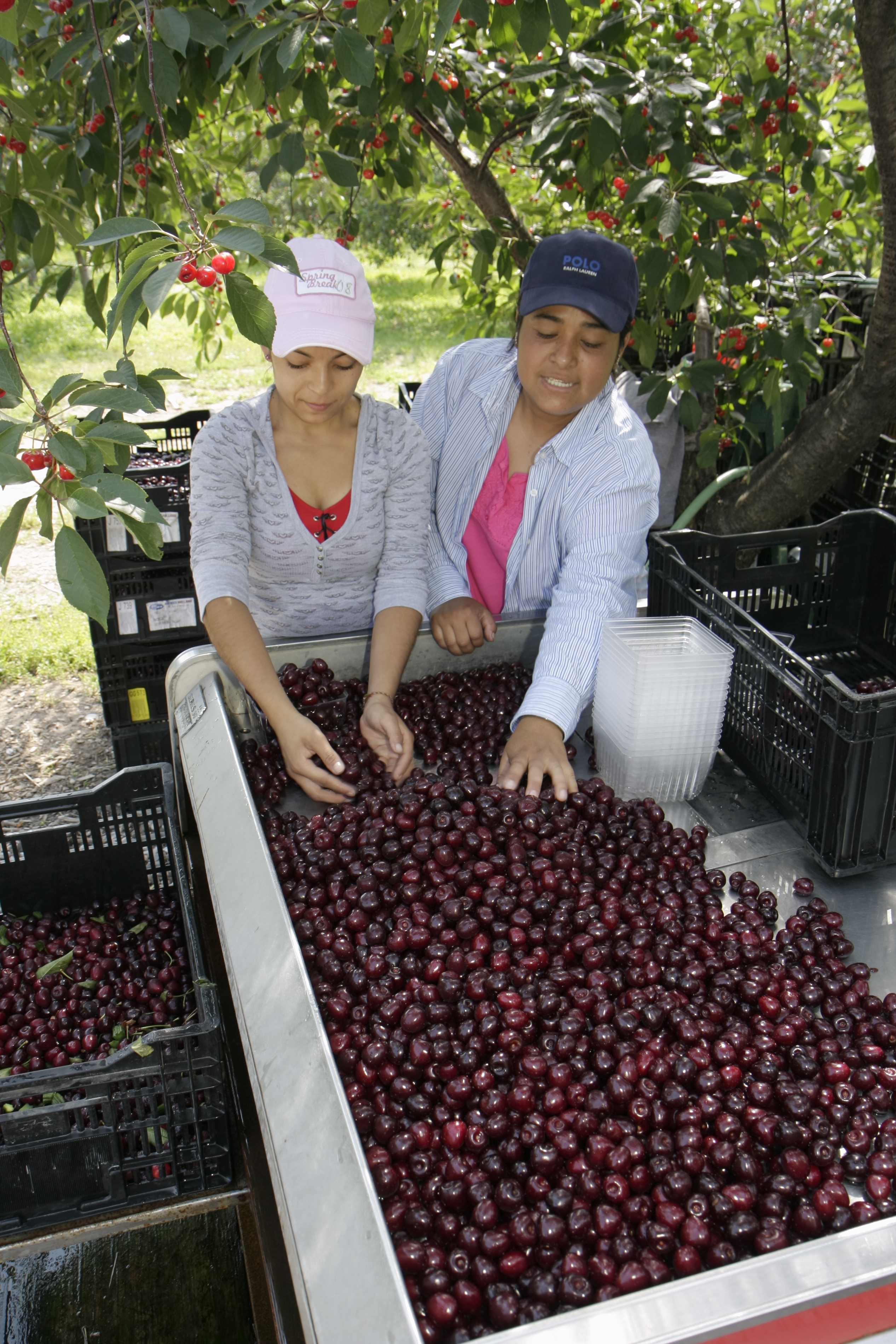 Women harvesting sweet cherries.