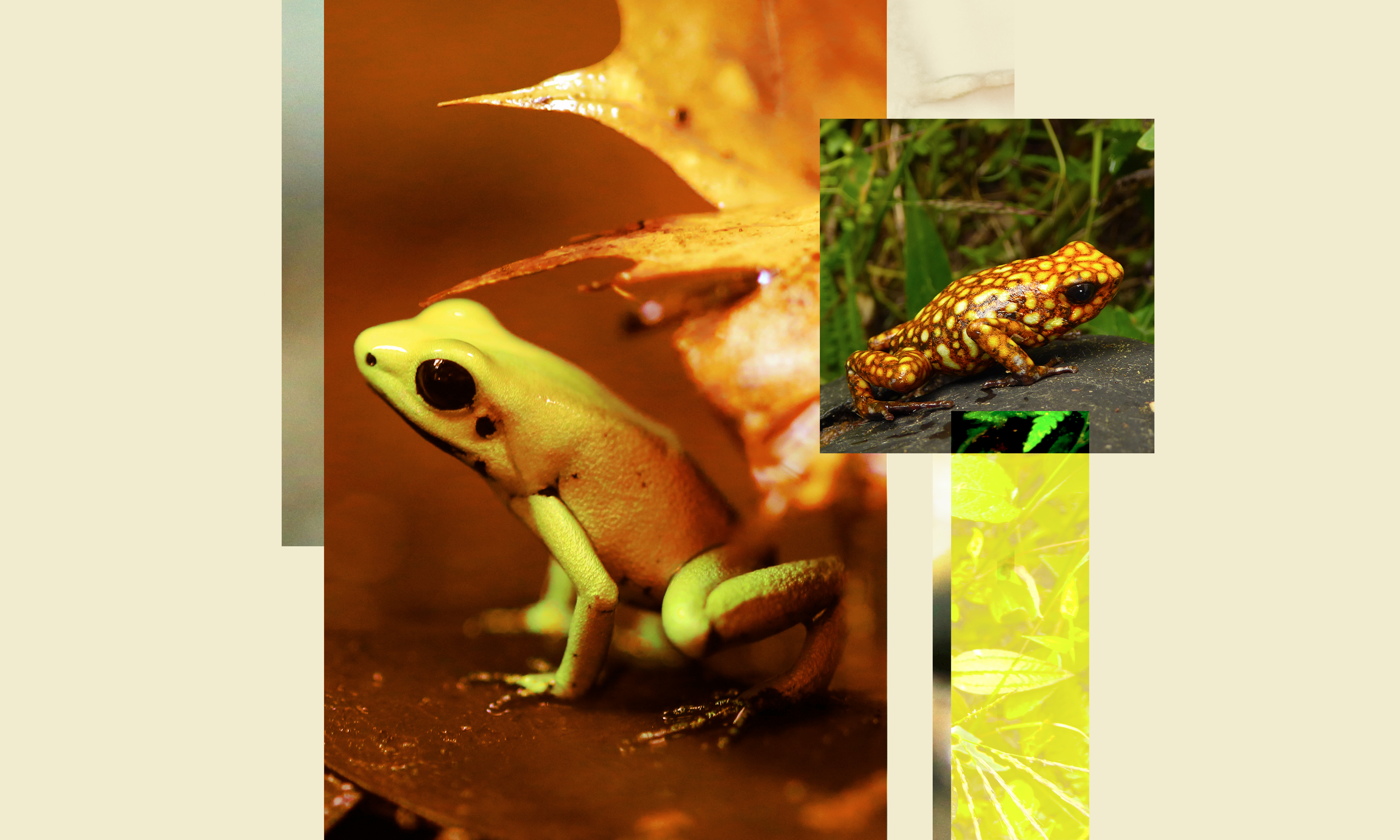A golden poison frog (left) and a Diablito poison frog (right).