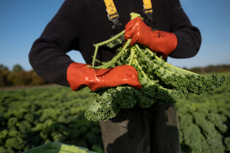 Green cabbage season in Lower Saxony begins