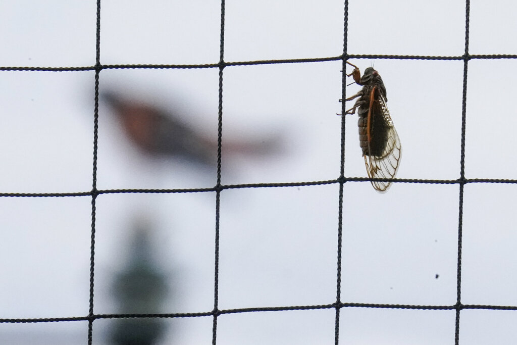 A Brood X Cicada hangs from netting behind home plate at Oriole Park at Camden Yards.