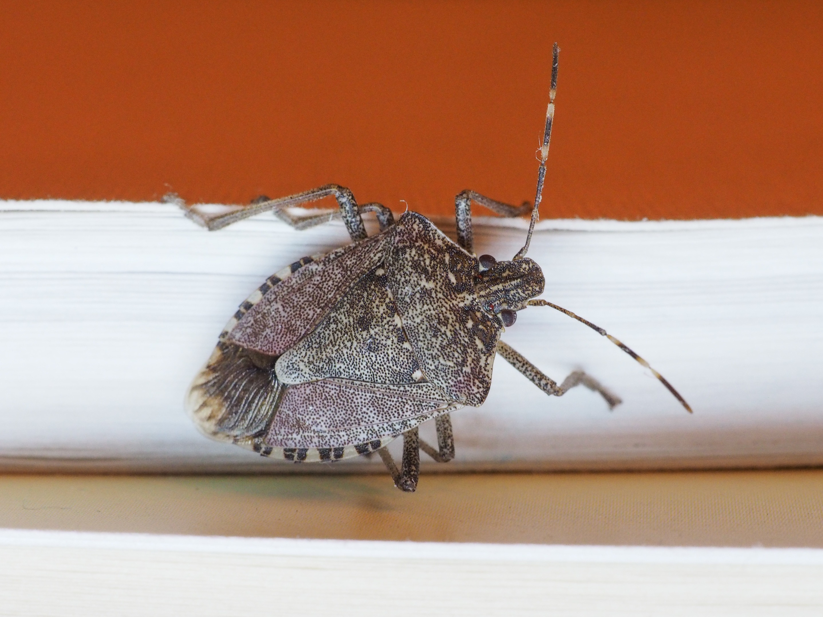 A brown stink bug on the white molding of a wall inside a home with orange painted walls.