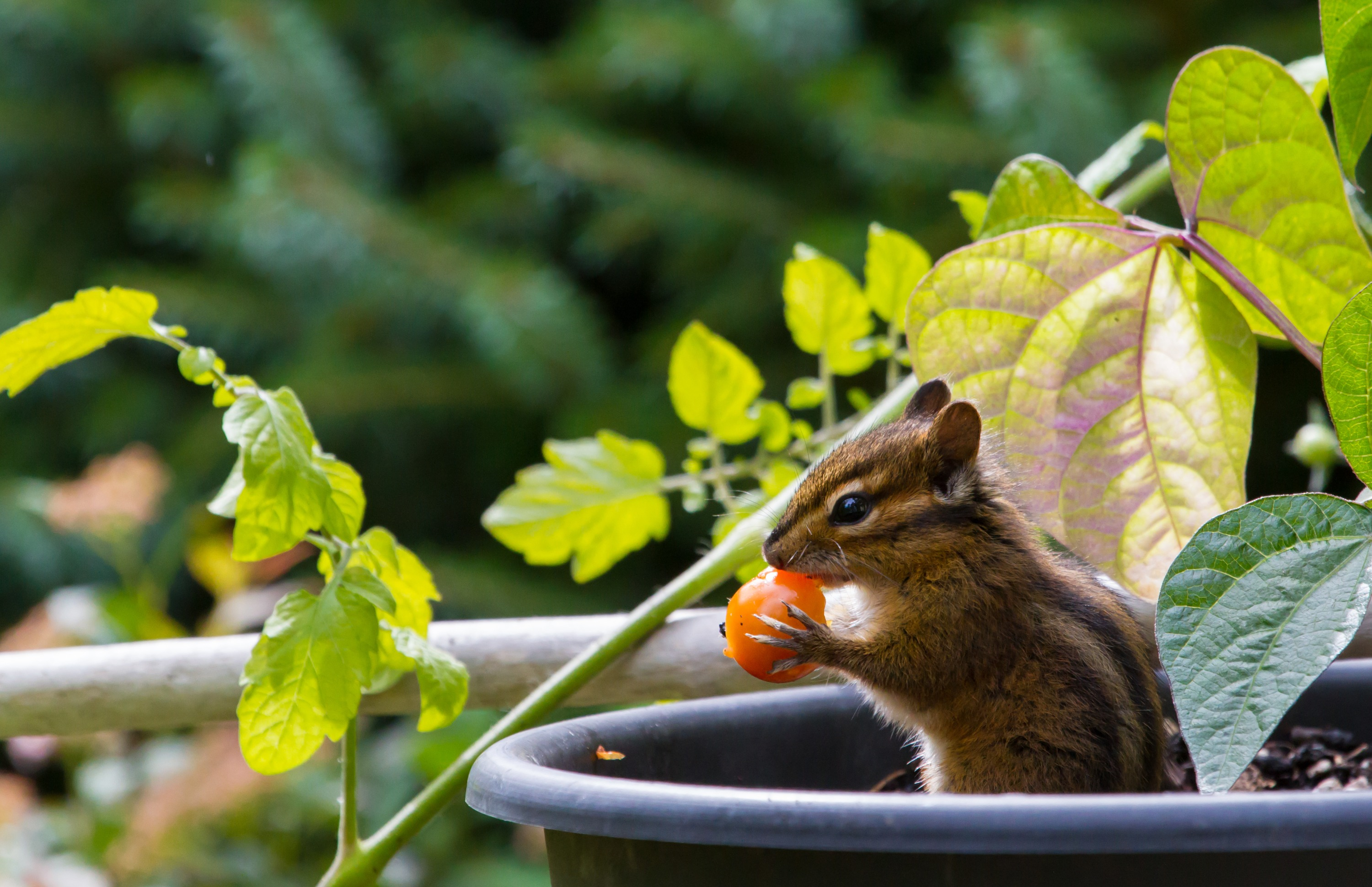 A chipmunk holding a small red tomato in a garden.