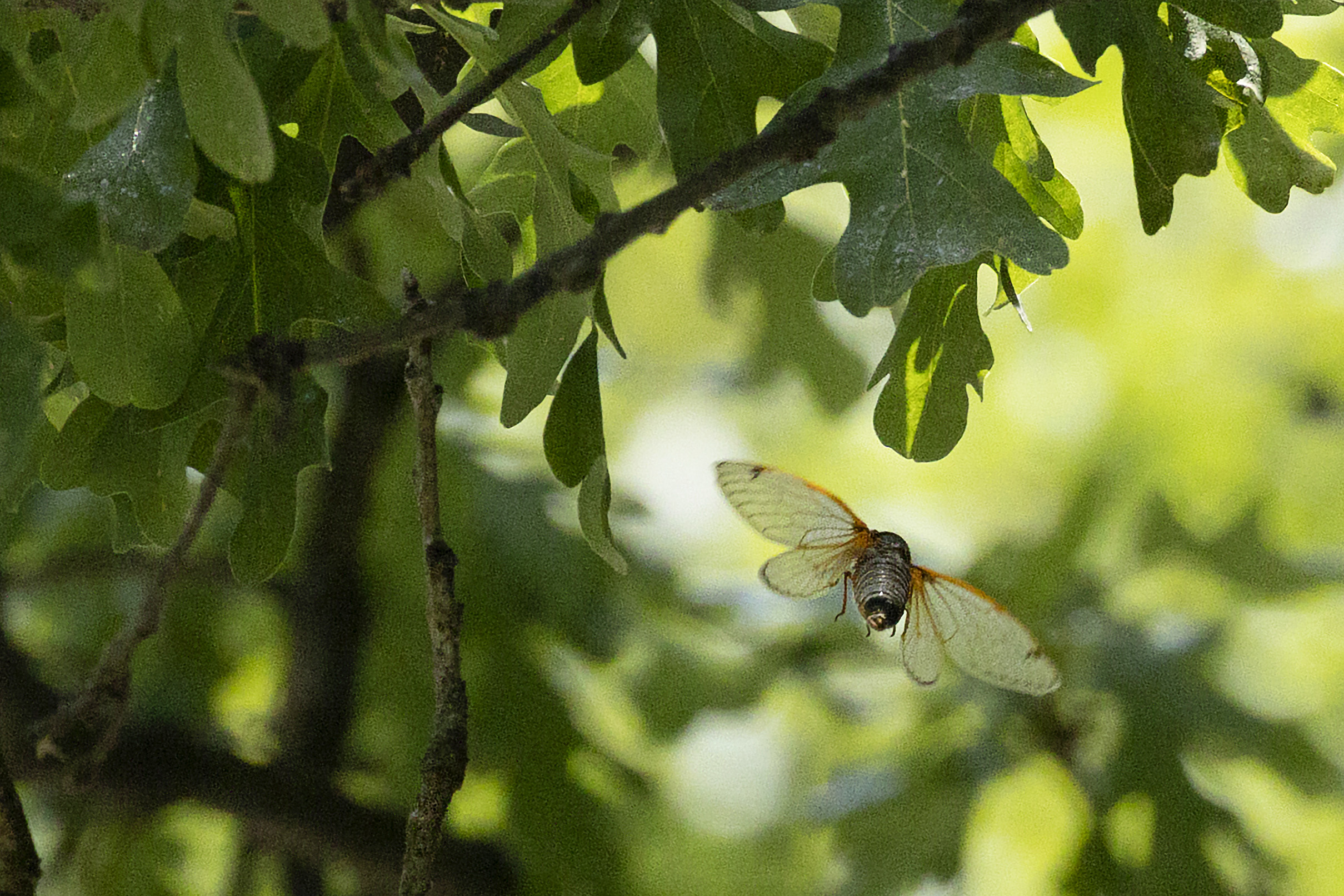 A cicada flies near the branches of a tree, as sunlight hits the leaves behind it.