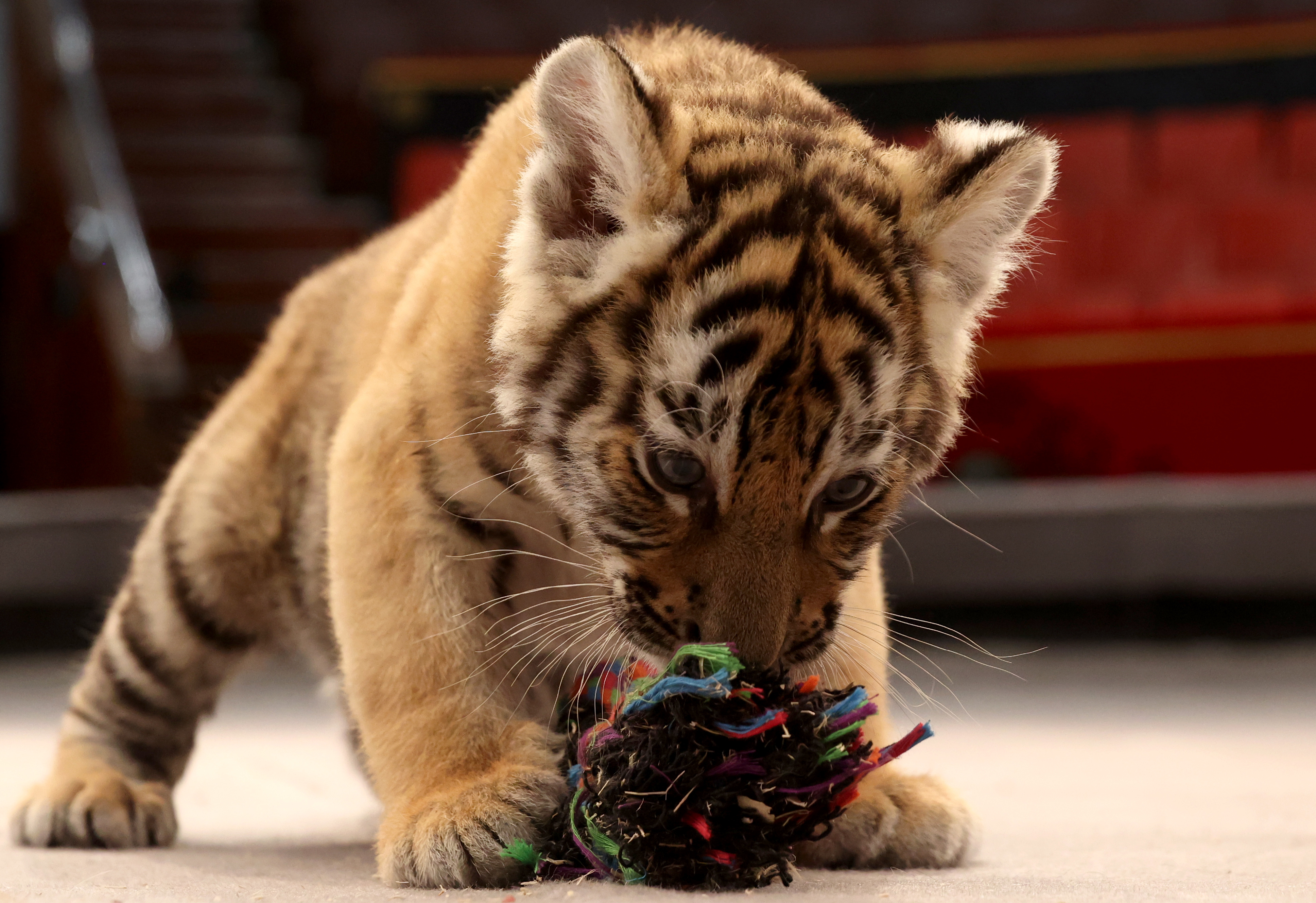 Four tiger cubs born at Bryansk State Circus