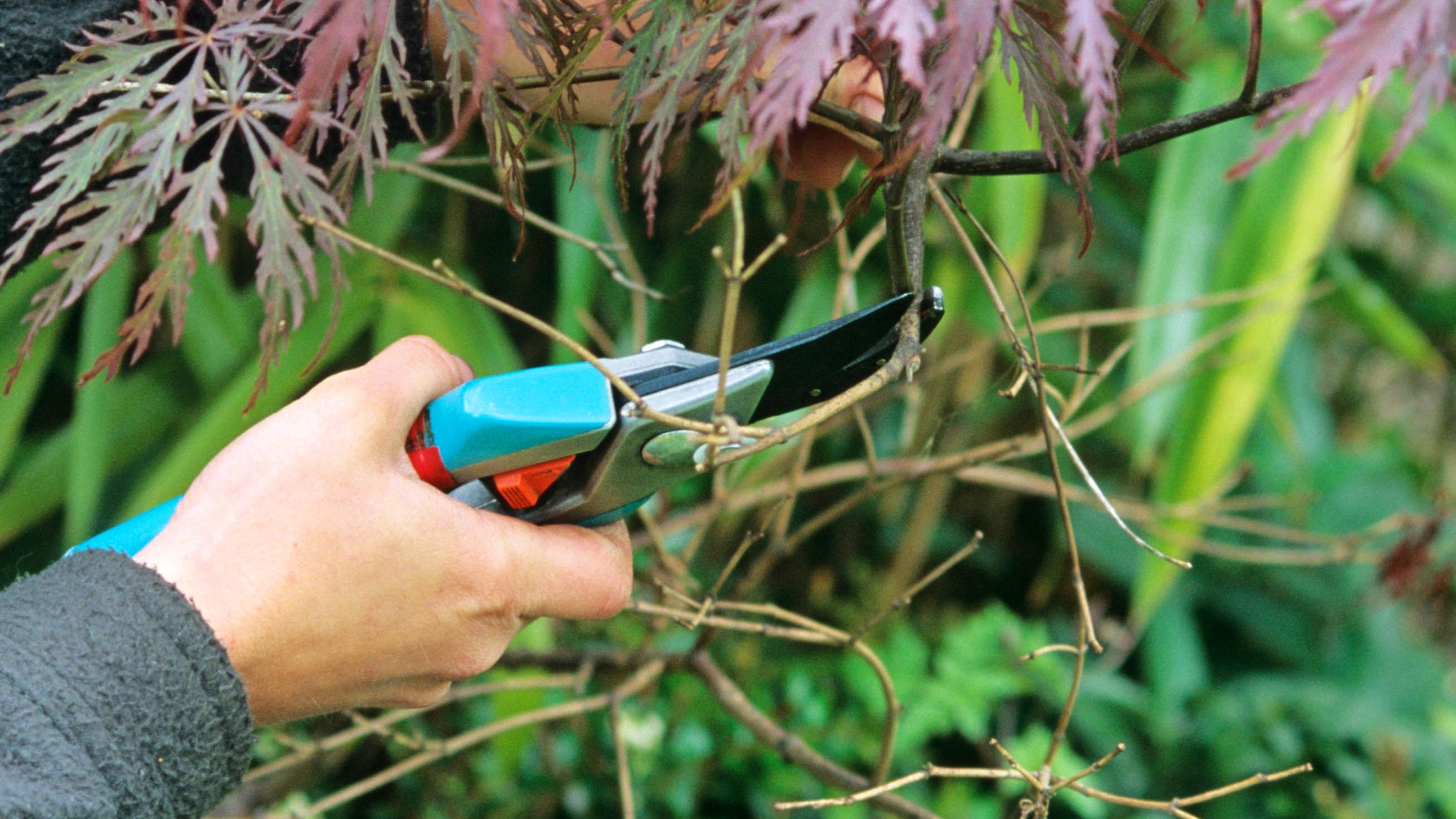 Summer 2021, Summer Checklist, pruning Japanese maple