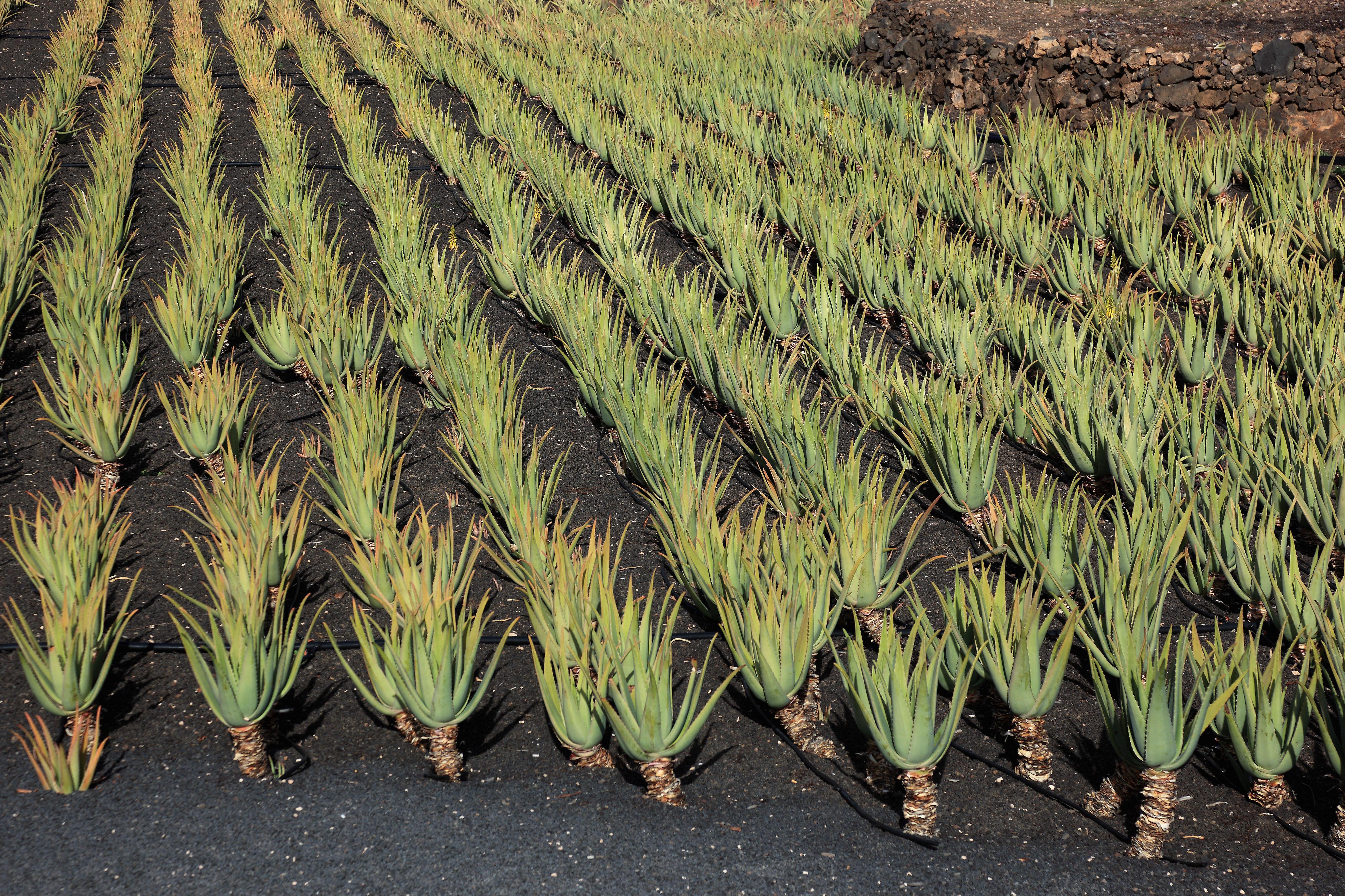 Aloe Vera Plantation at Orzola