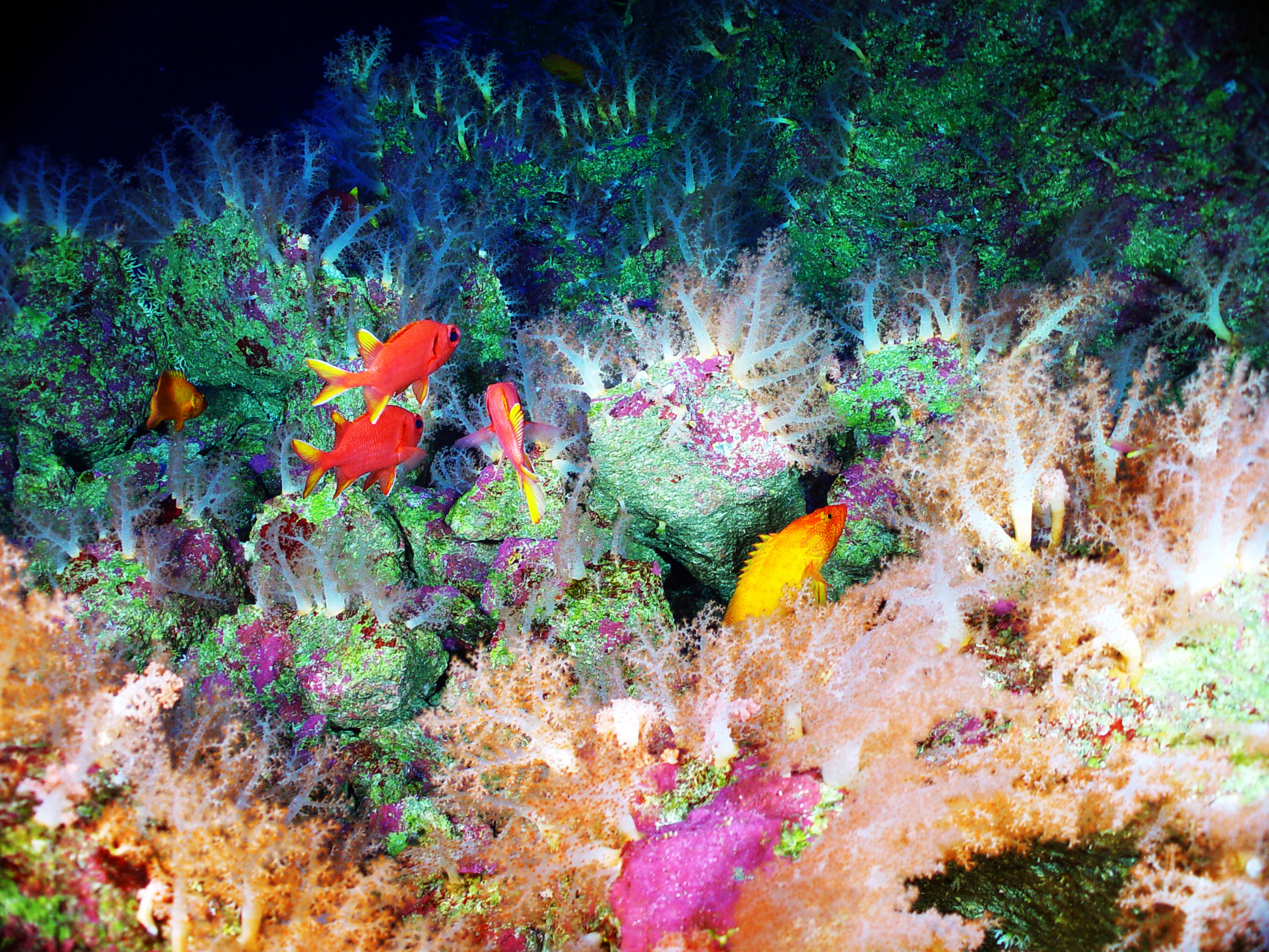 Colorful tropical fish, soft corals, and basket stars covering the top of a volcanic spine from the Mariana Arc region of the Western Pacific Ocean circa 2004.