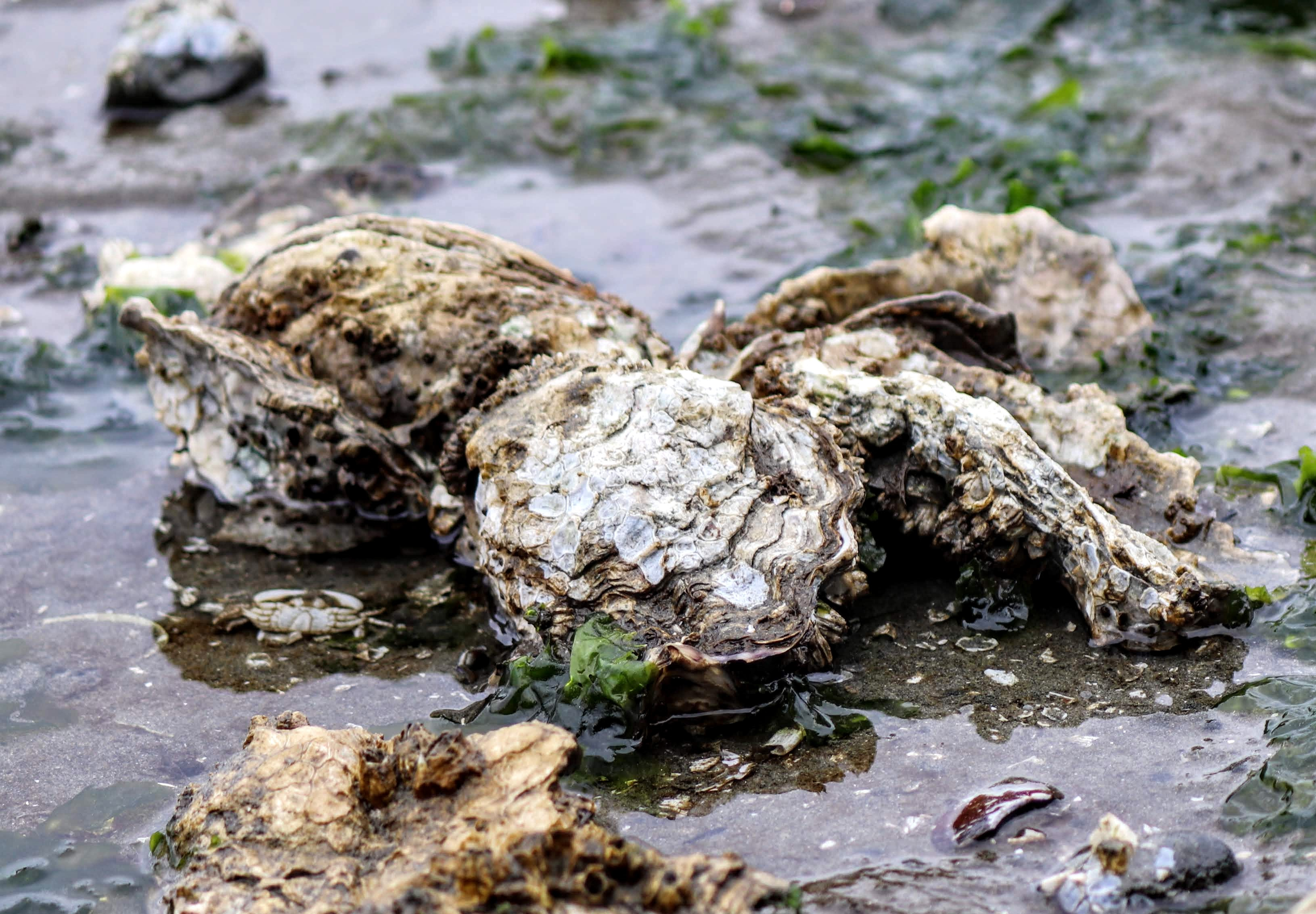 Oysters exposed at low tide in a muddy oyster bed.