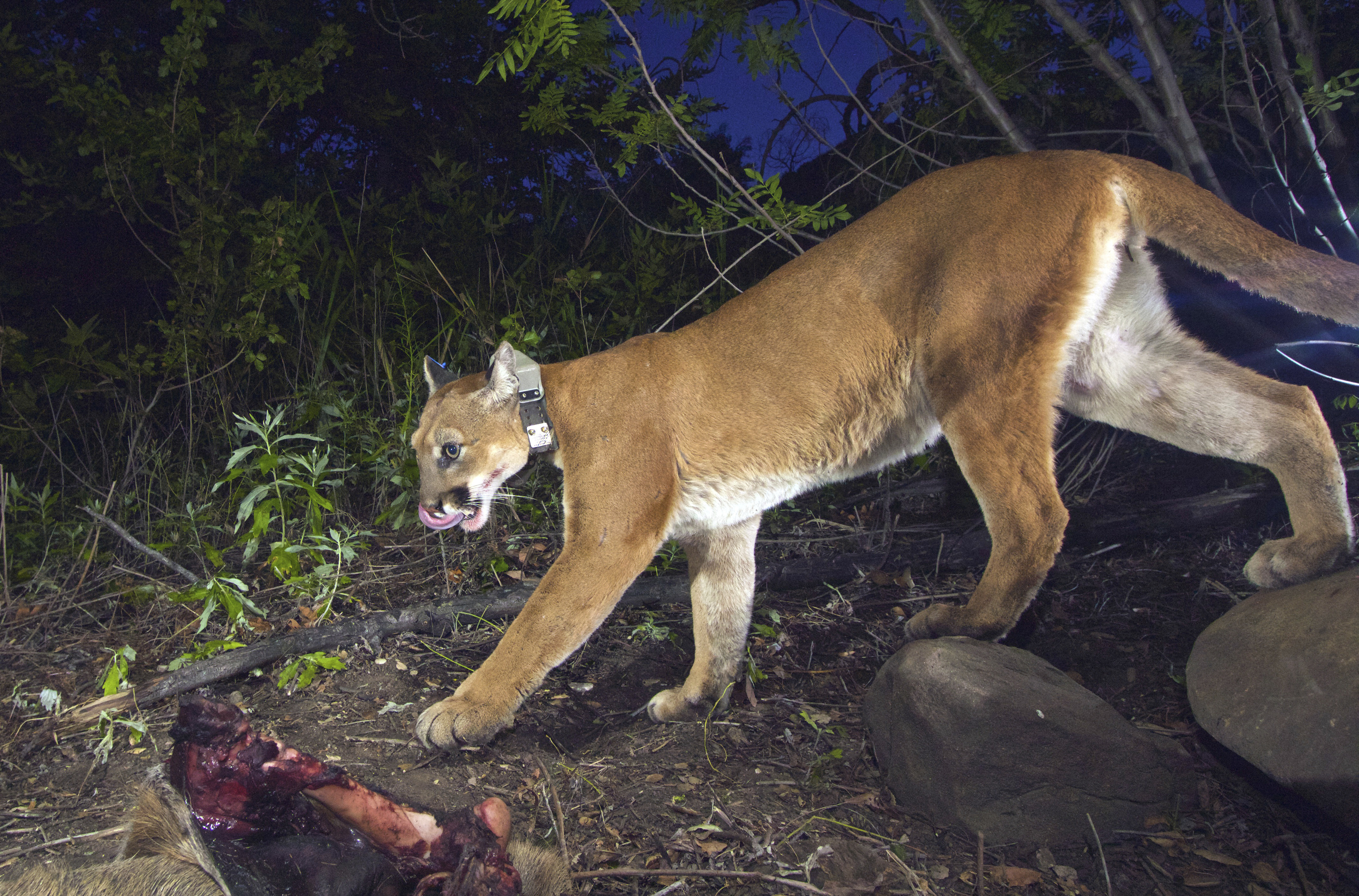 A National Park Service remote camera shows an adult female mountain lion.