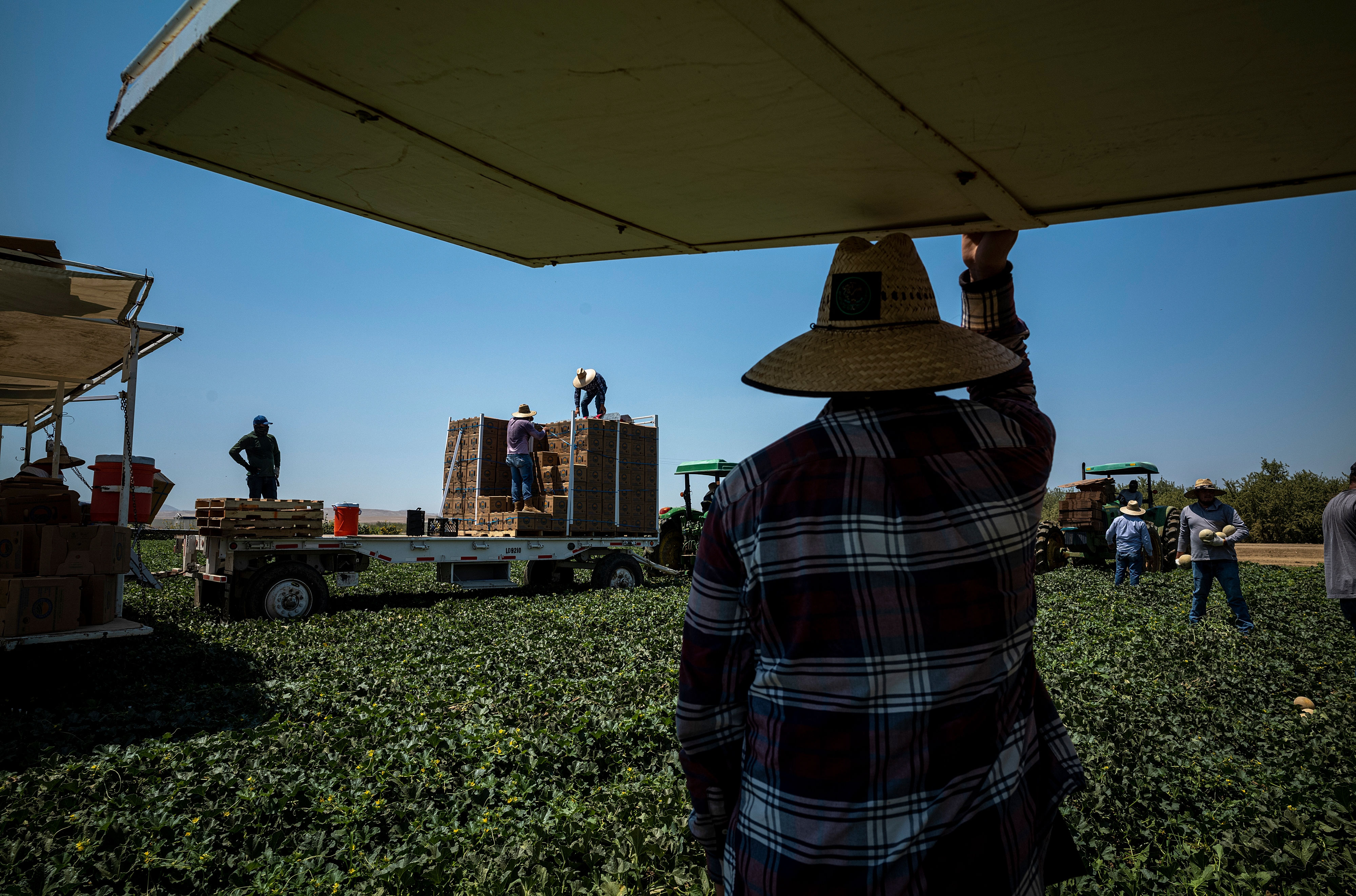 Workers harvest cantaloupe on a farm during a drought in Firebaugh, California, on July 13, 2021.