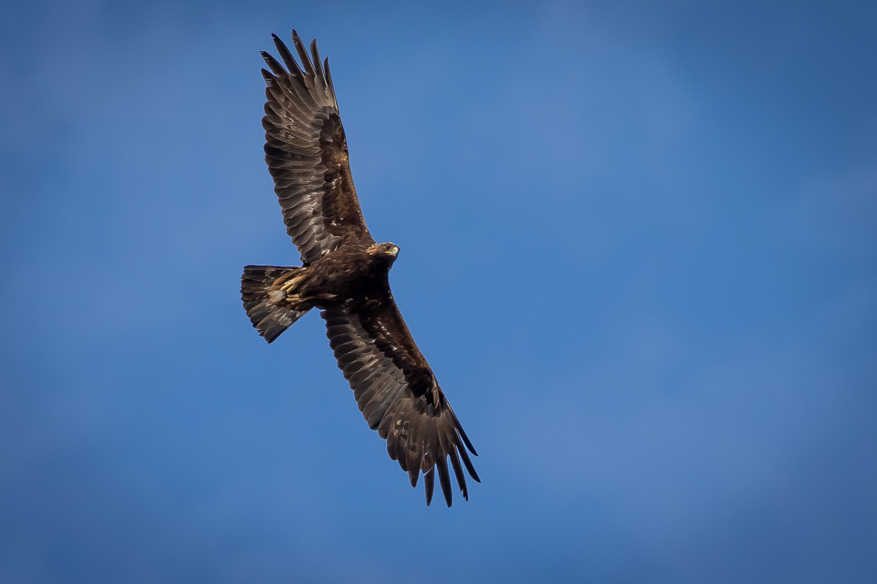 An adult golden eagle circles overhead as Hawkwatch International researchers prepare to enter its nest to collect data and samples from a nestling in a remote area of Box Elder County on Thursday, May 20, 2021.