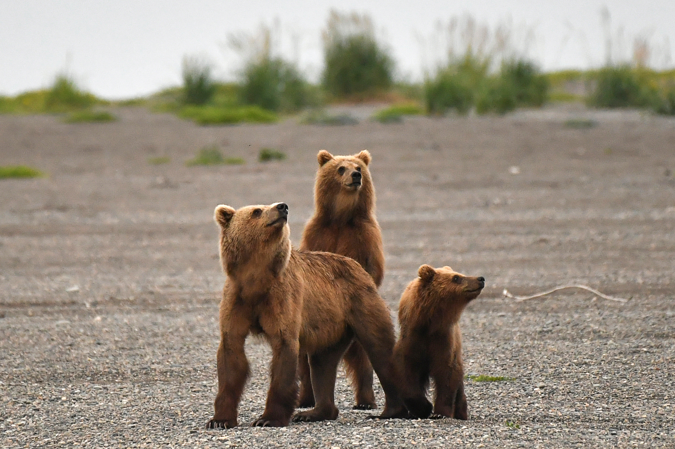 Brown bears in Kamchatka