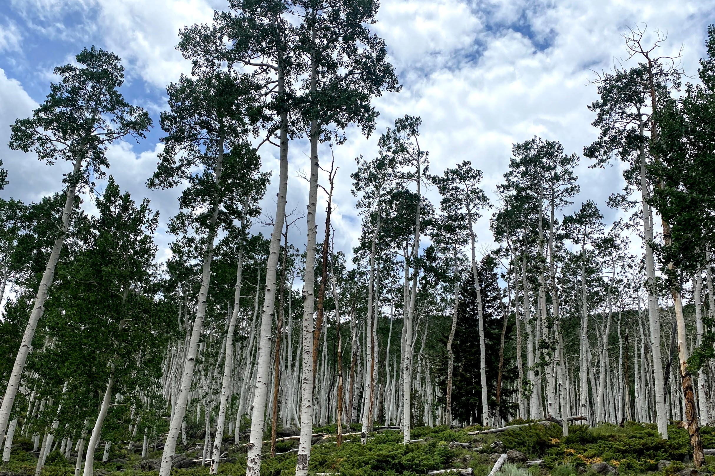 A portion of the 106-acre Pando Aspen Clone, revered as the largest-single living organism on Earth.
