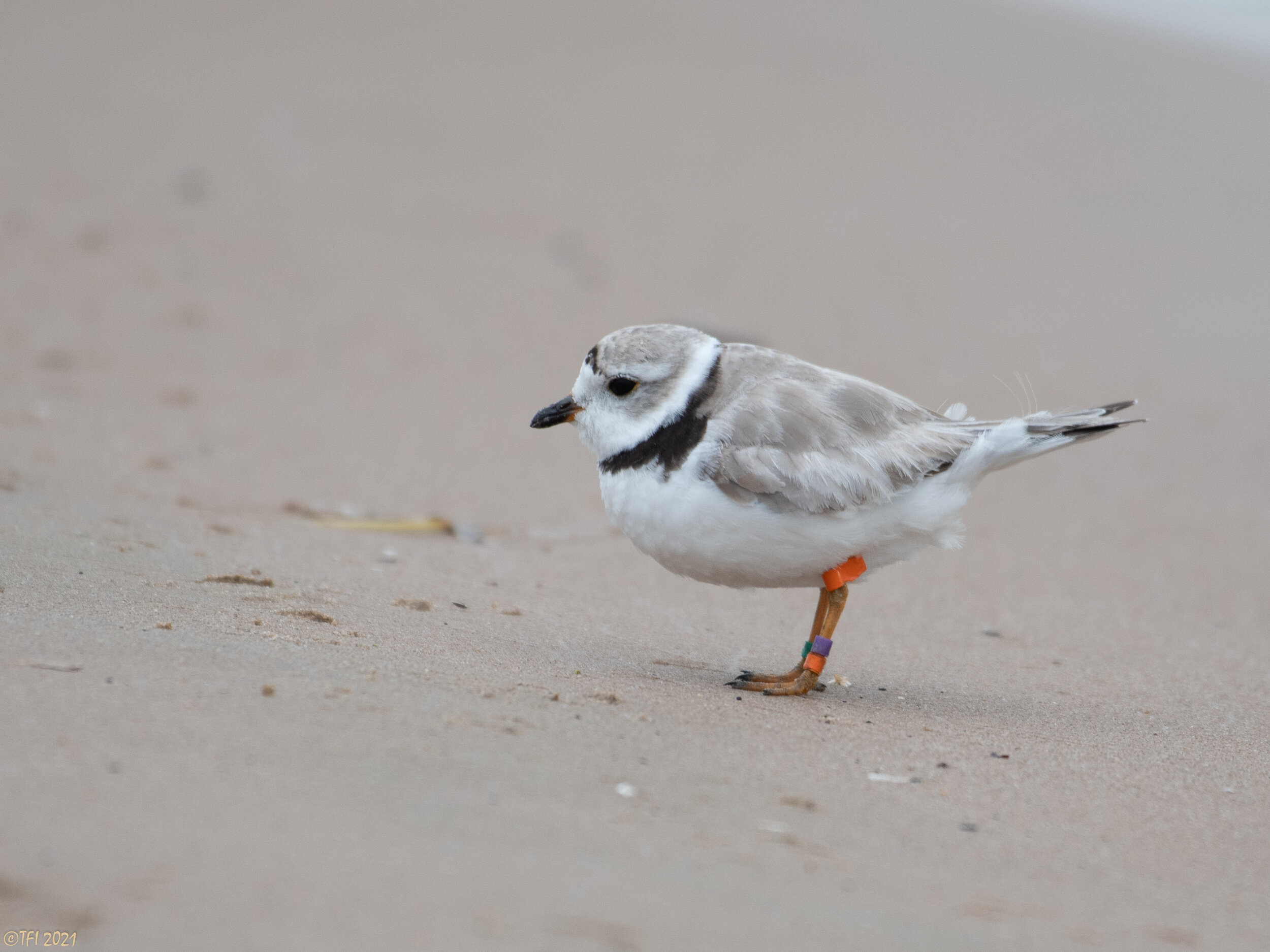 Monty the piping plover seen Aug. 13 on Montrose Beach before his long flight to Galveston, Texas.