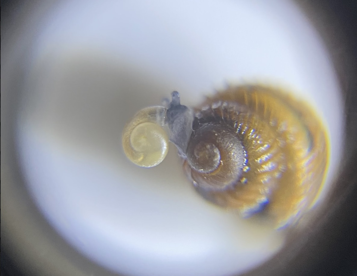 An image of the boreal top snail, which measures just 4 millimeters.