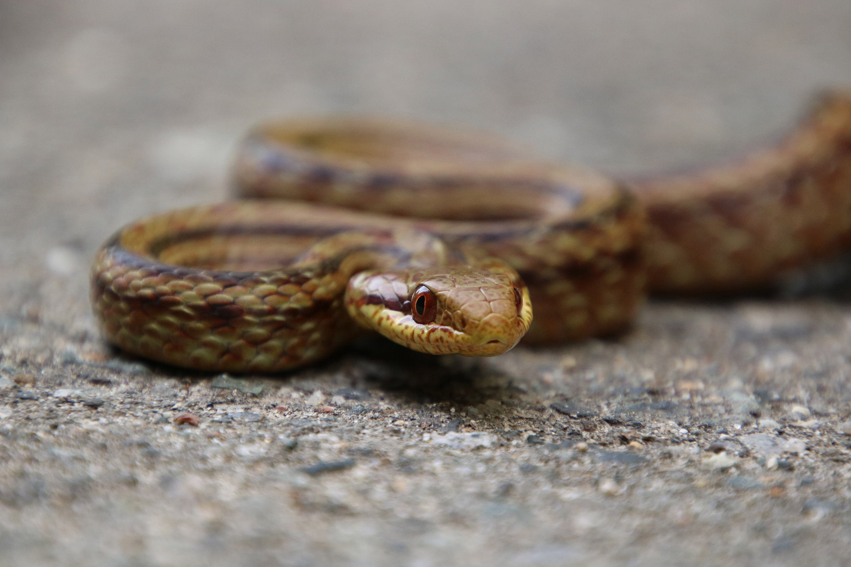 A Japanese rat snake crosses a rural road in the Fukushima Evacuation Zone in Japan.