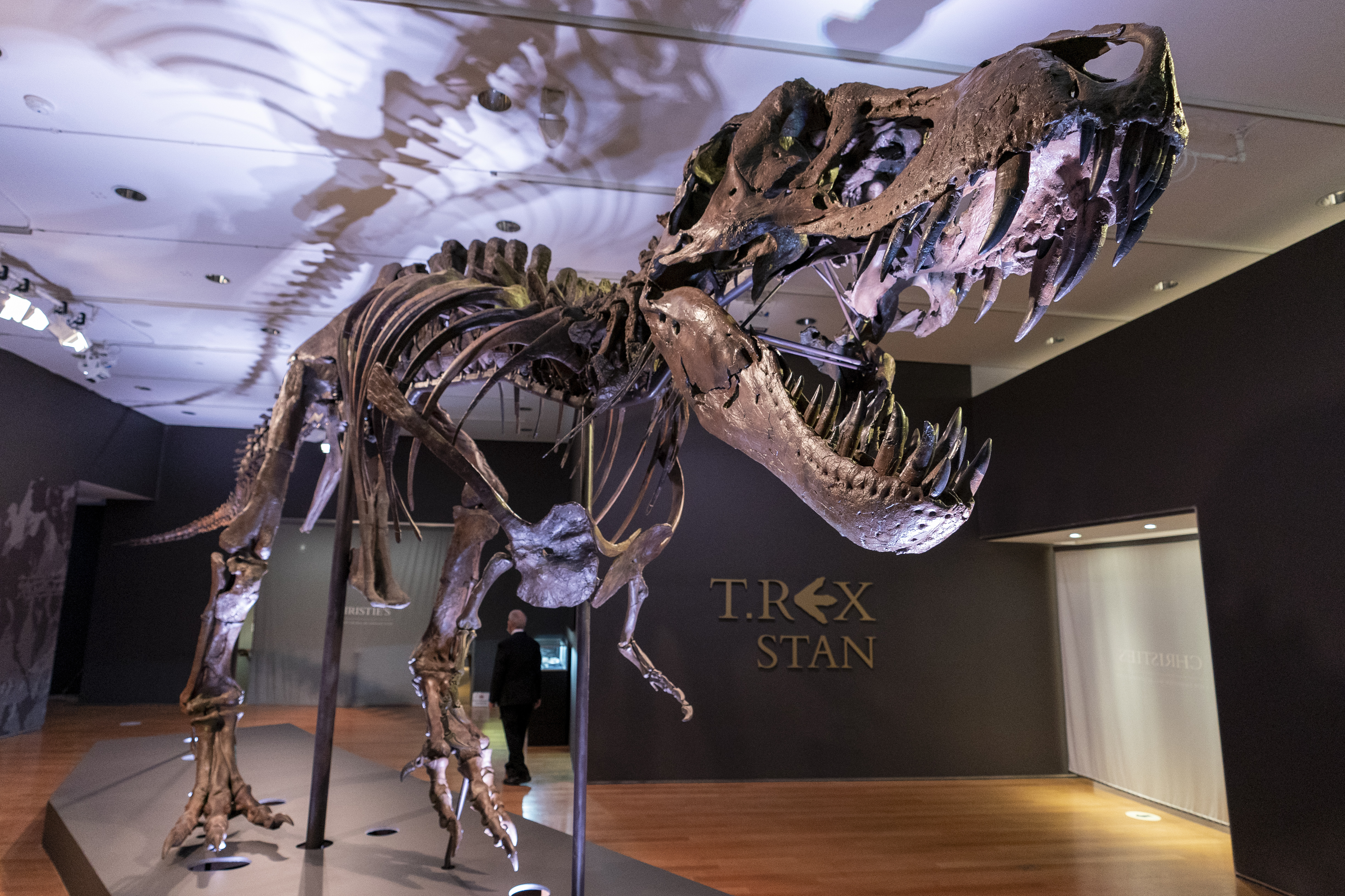 Stan, one of the largest and most complete Tyrannosaurus rex fossil discovered, is pictured on display in New York.