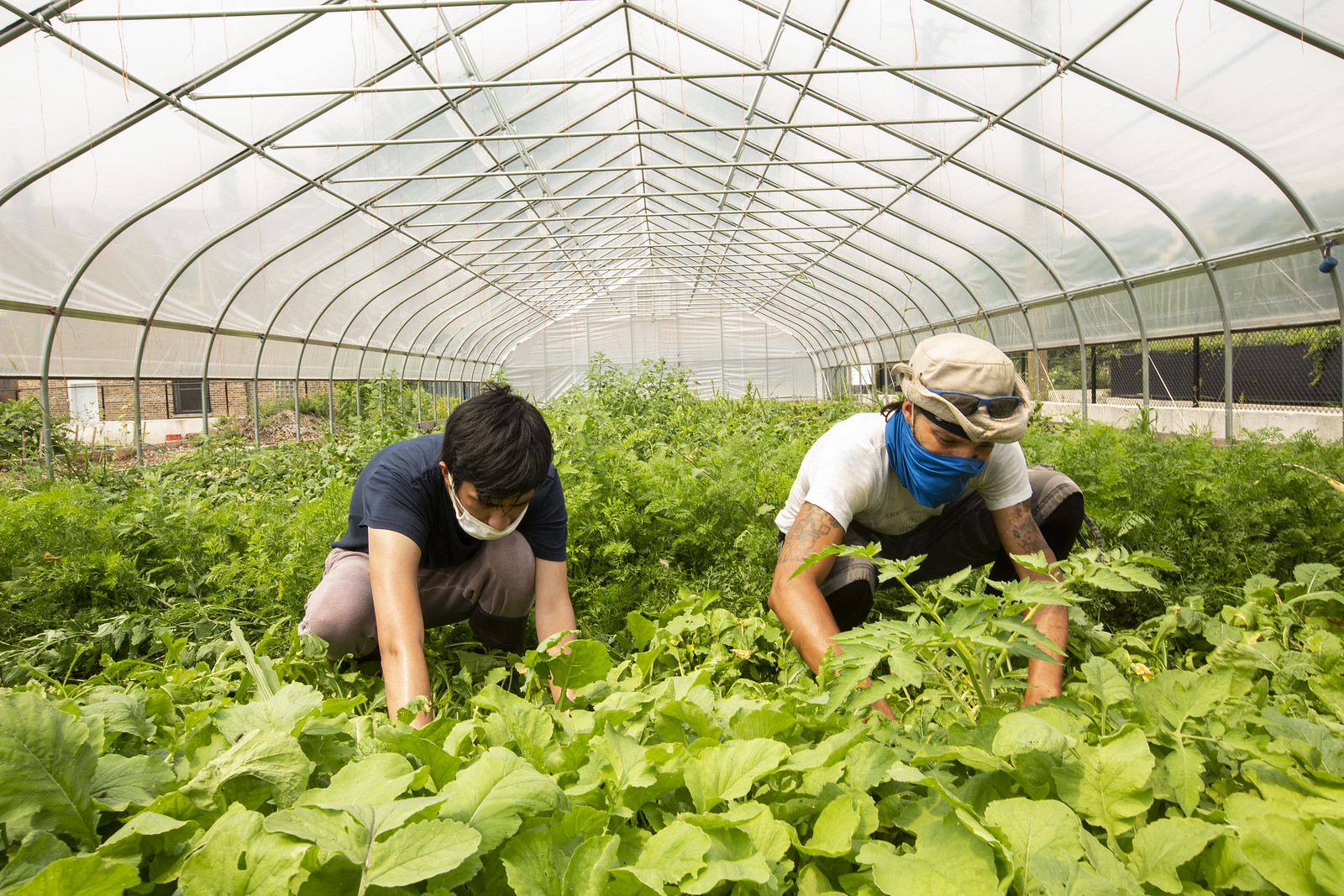 Two people kneeled down harvesting green crops inside a greenhouse.