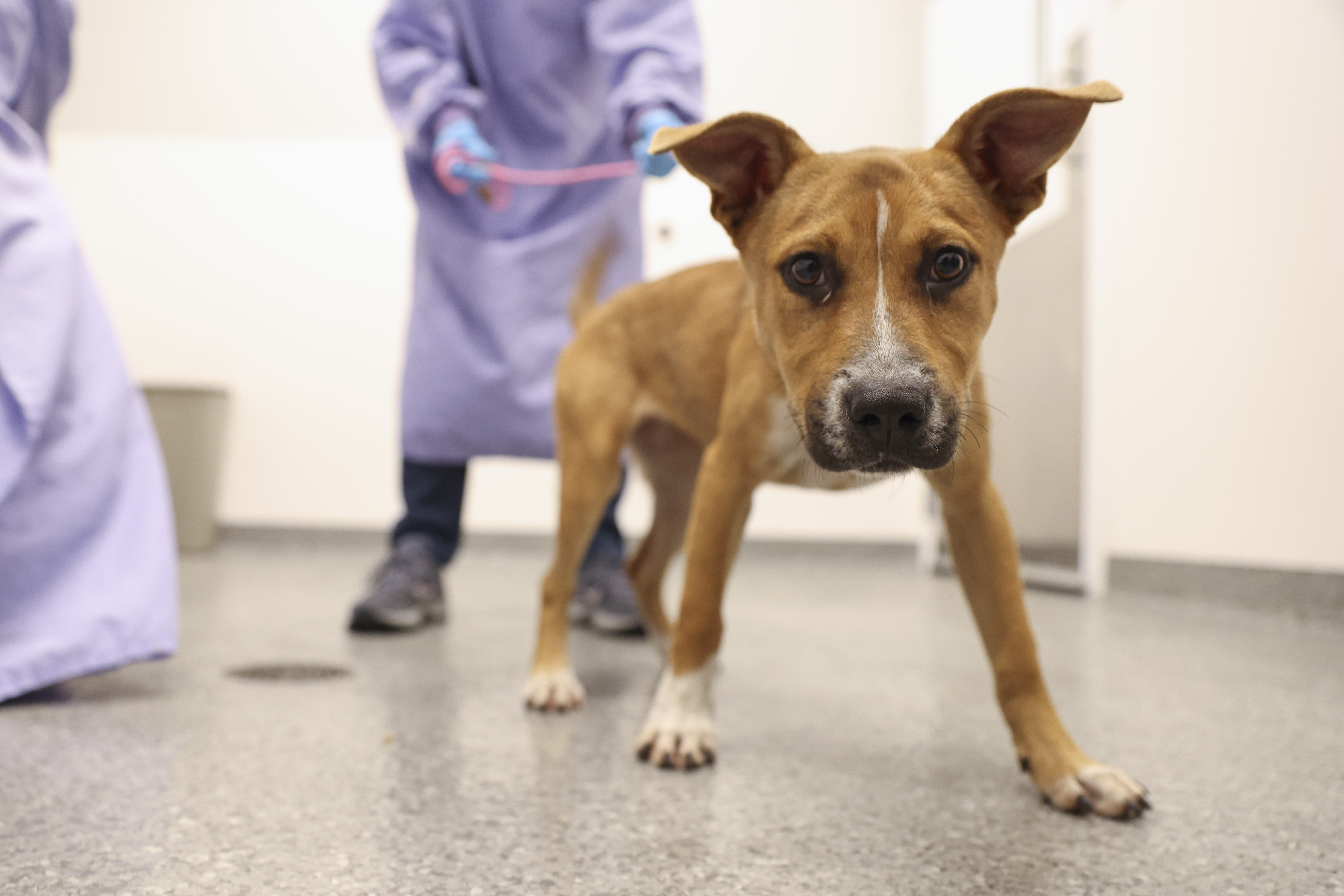 A dog rescued from a shelter in Louisiana that was in the path of Hurricane Ida is welcomed at PAWS Chicago Medical Center in Little Village on Wednesday.