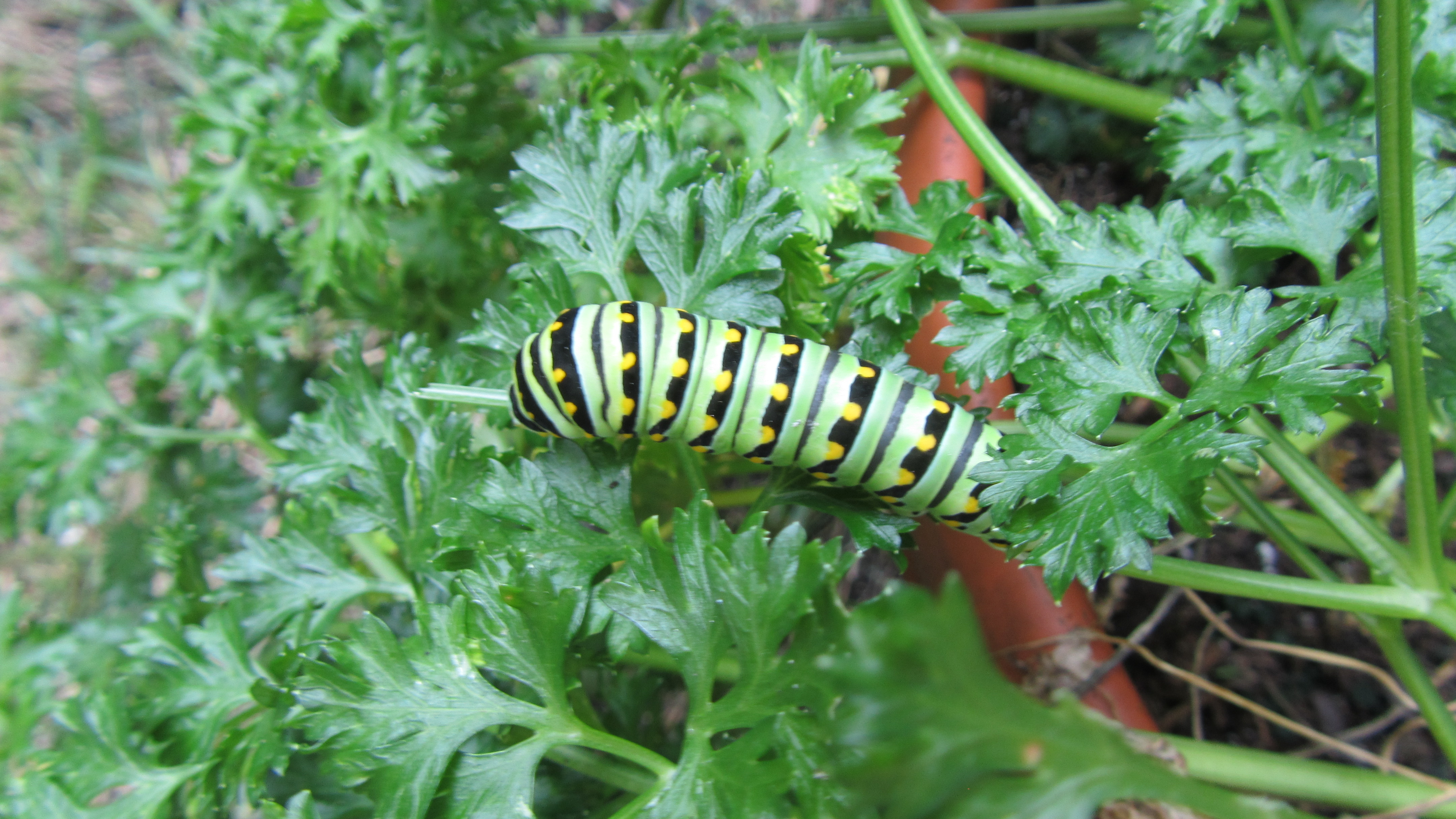 Swallowtail caterpillar in parsley on Chicago's Northwest Side. Credit: Ron Wozny