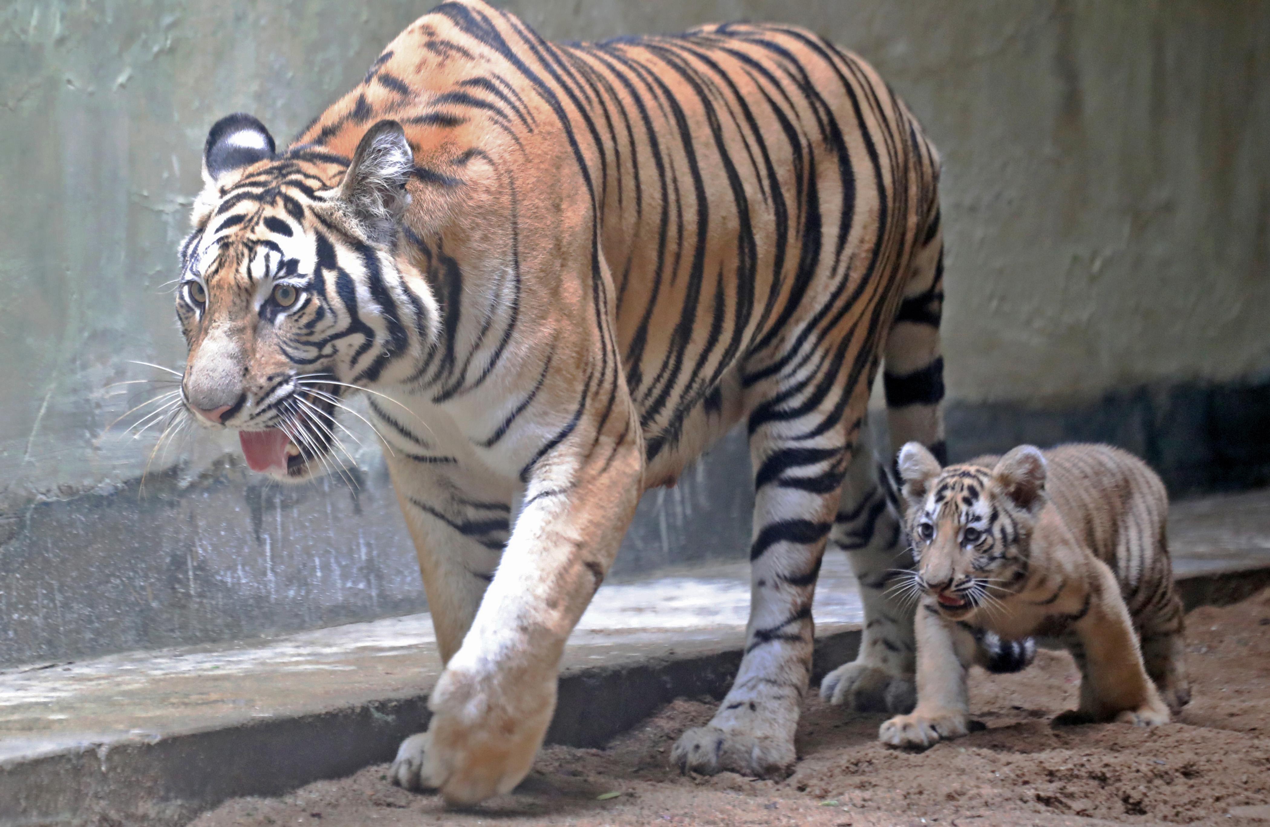Newborn Bengal Tigers 'Durjoy And Avantika' At National Zoo