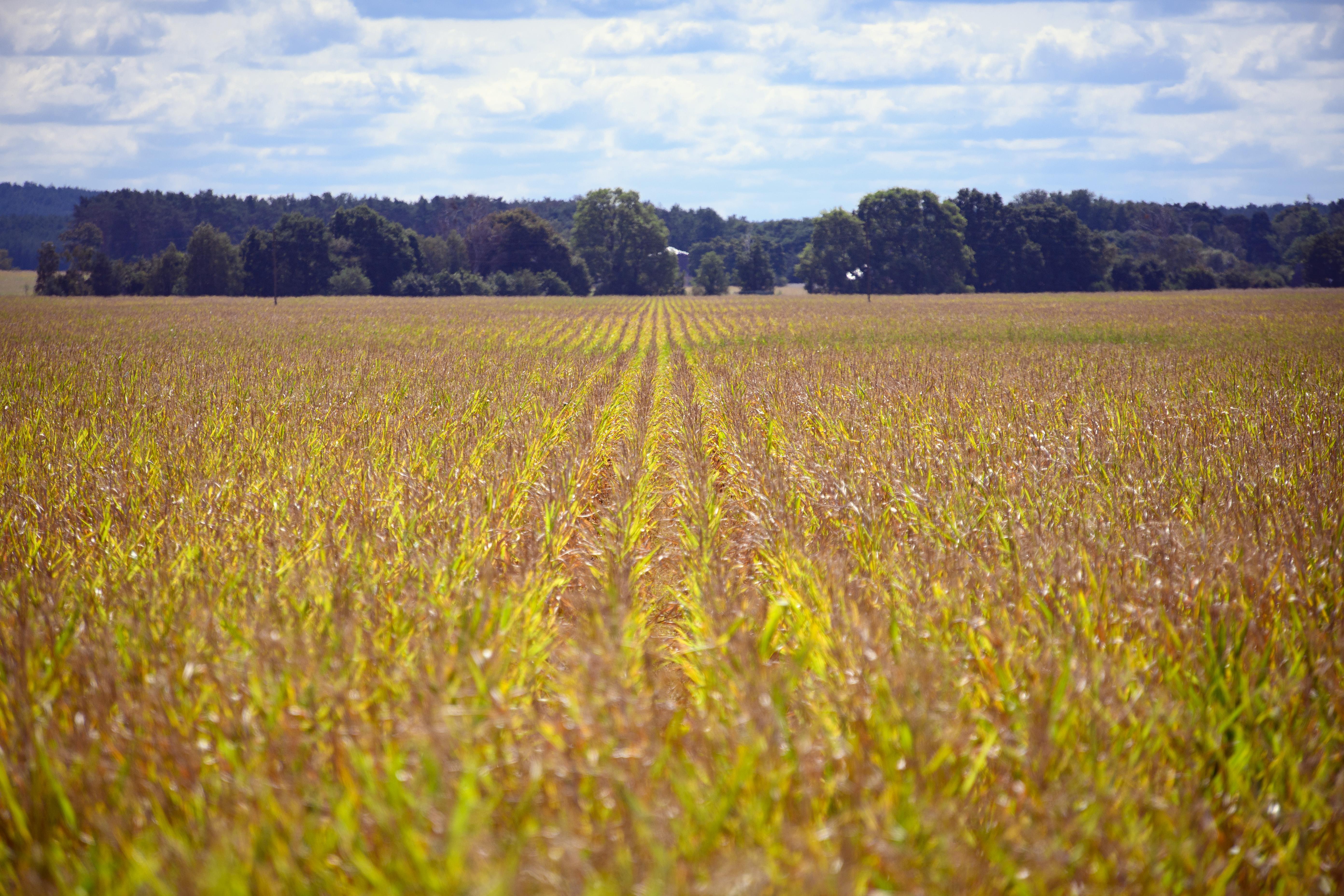 Late summer - cornfield