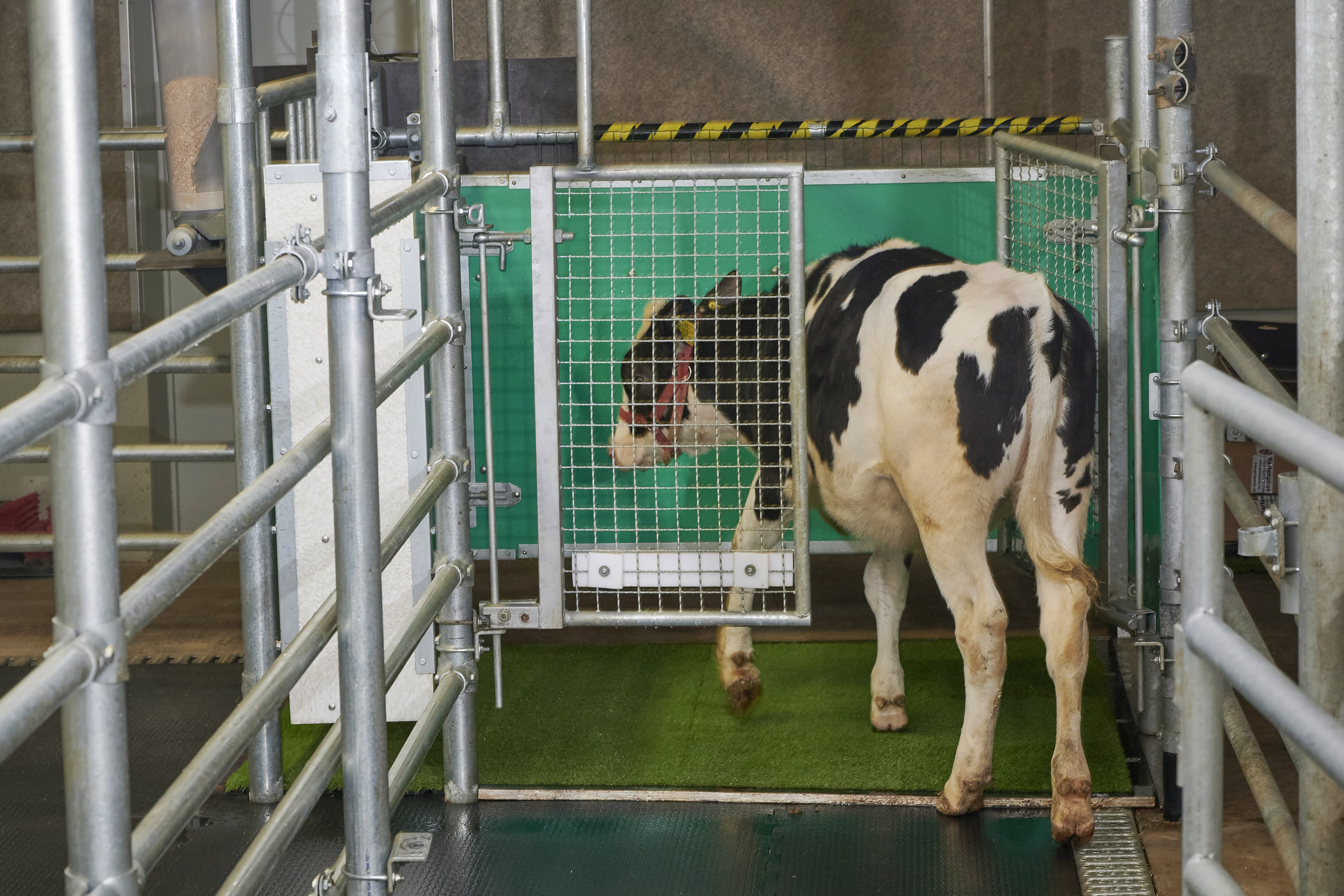 """In this photo provided by the Research Institute for Farm Animal Biology in Dummerstorf, Germany, a calf enters an astroturf-covered pen nicknamed """"MooLoo"""" to urinate. Scientists, mimicking the process of putting a toddler on the potty until he or she has to go, put the cows in and waited until they urinated, then gave them a reward: a super-sweet liquid of mostly molasses."""
